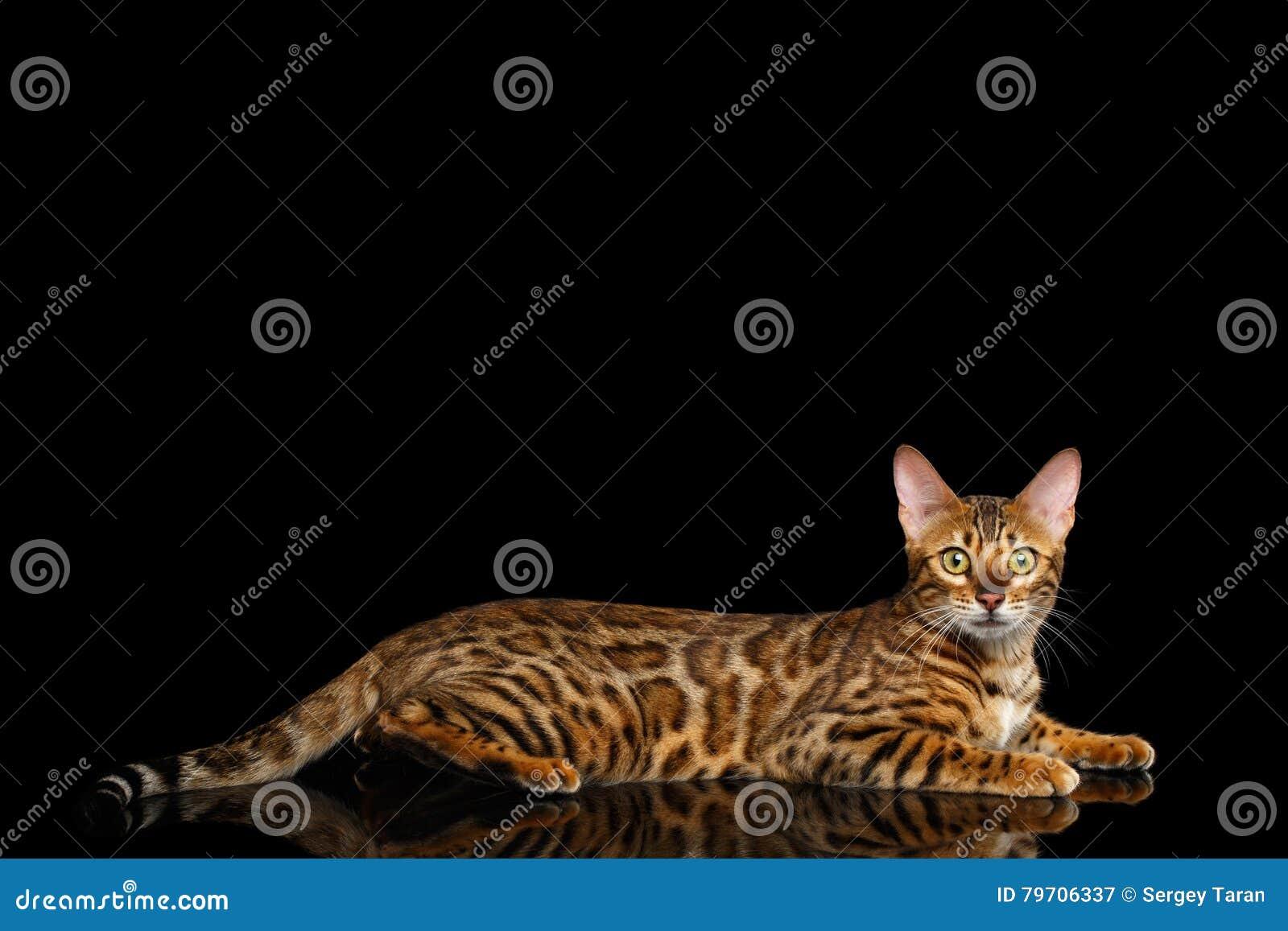 De aanbiddelijke die Kat van rassenbengalen op Zwarte Achtergrond wordt geïsoleerd