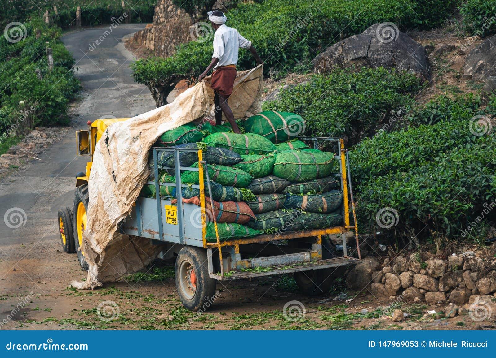 De aanplanting Kerala groen India van de Munnarthee