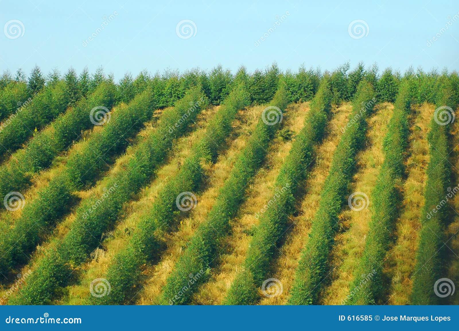 De aanplanting van de eucalyptus