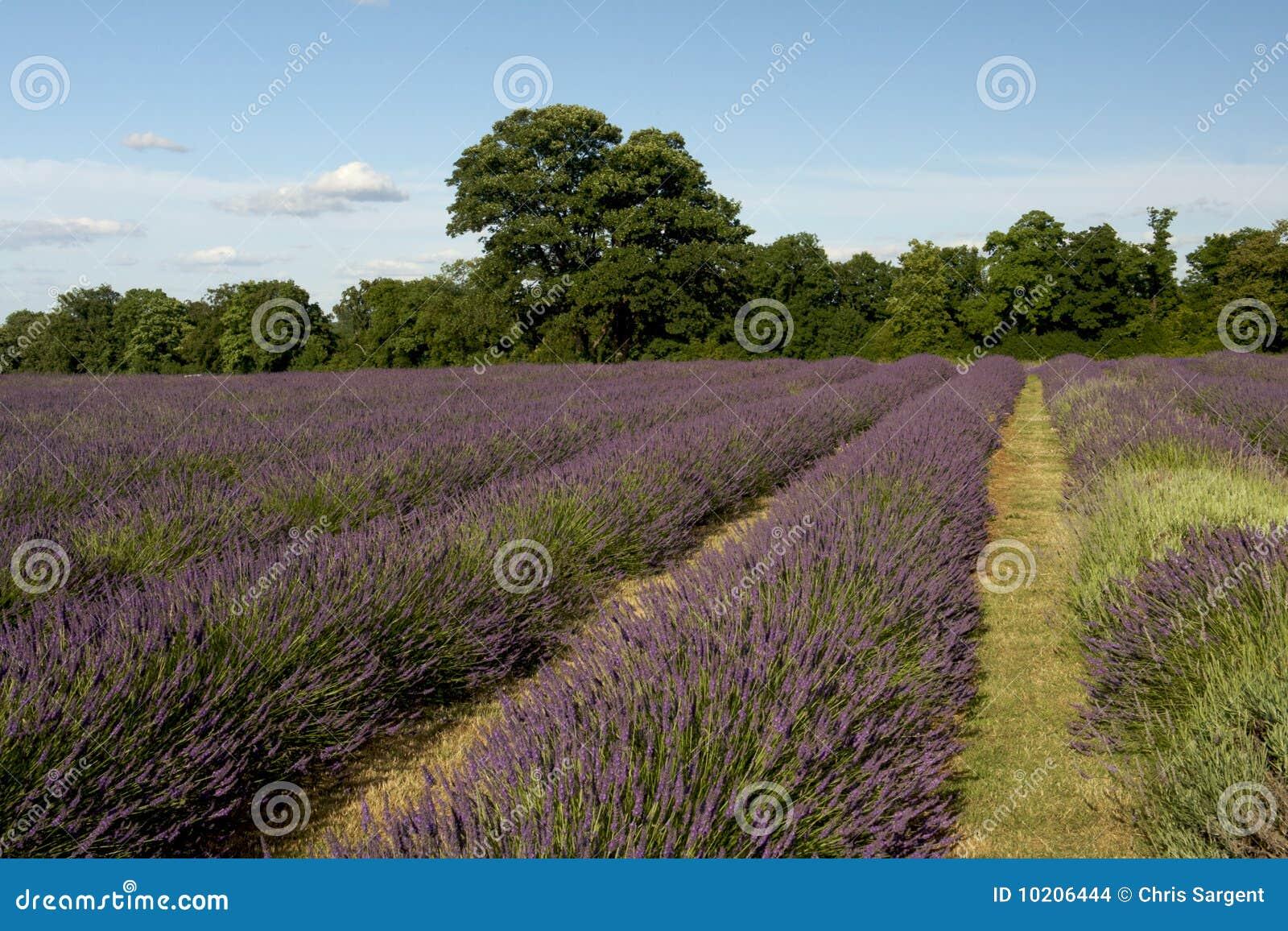 De Aanplanting van de lavendel