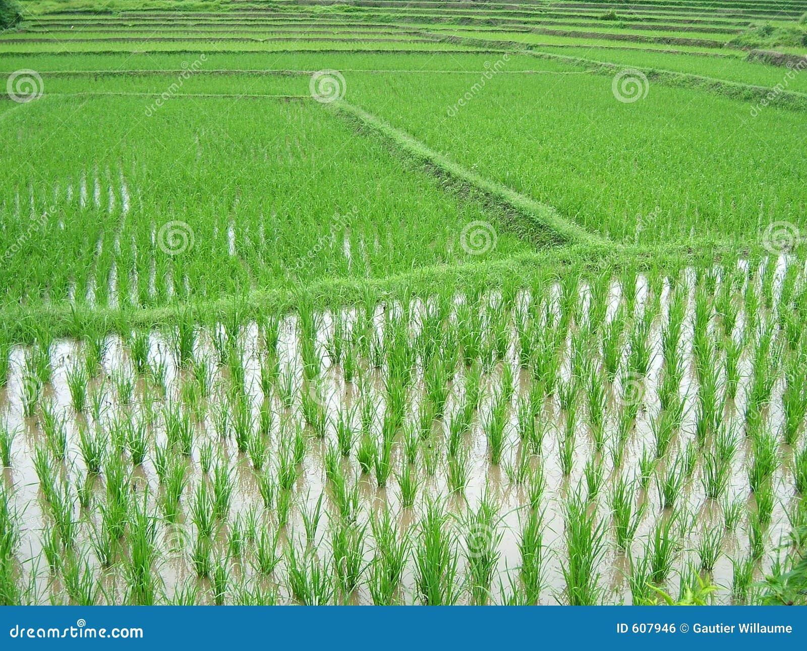 De aanplanting van de rijst