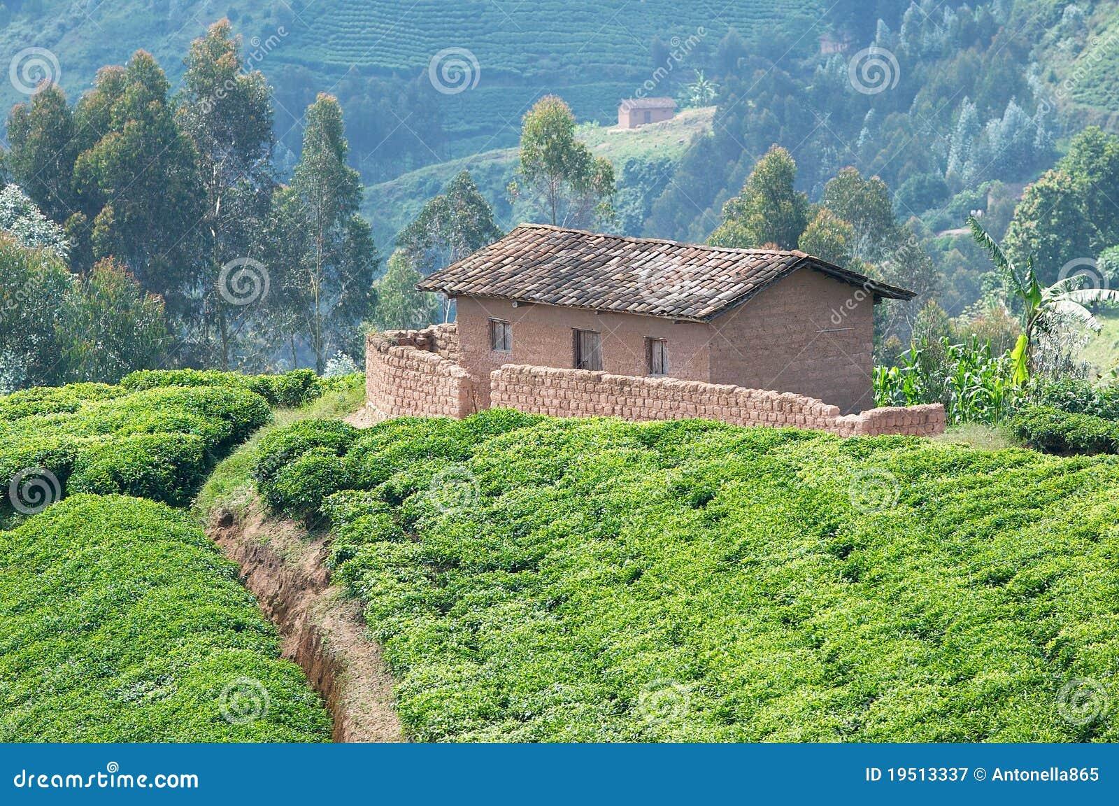 De aanplanting van de thee in Rwanda