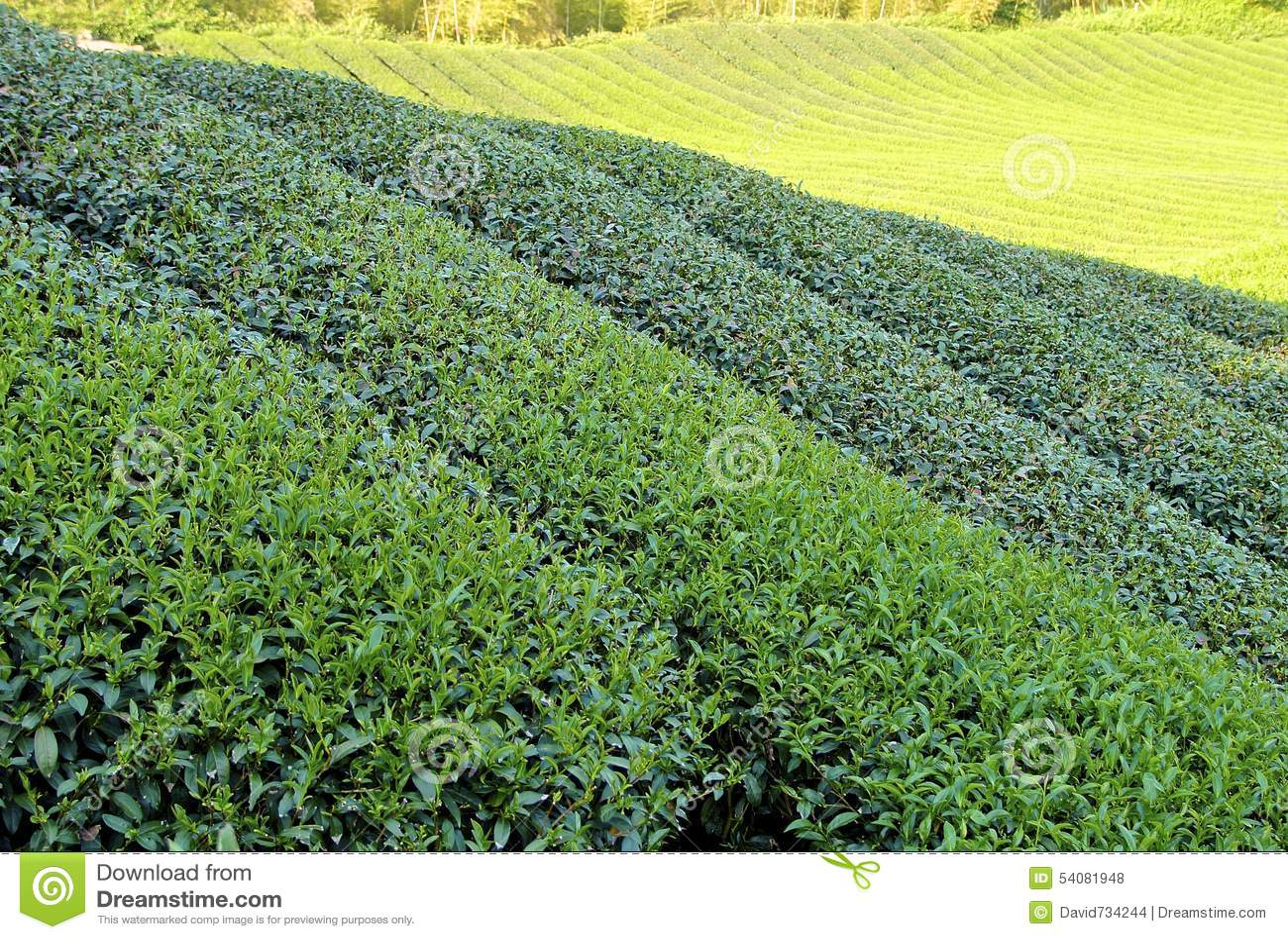 De aanplanting van thee bij landbouwbedrijf