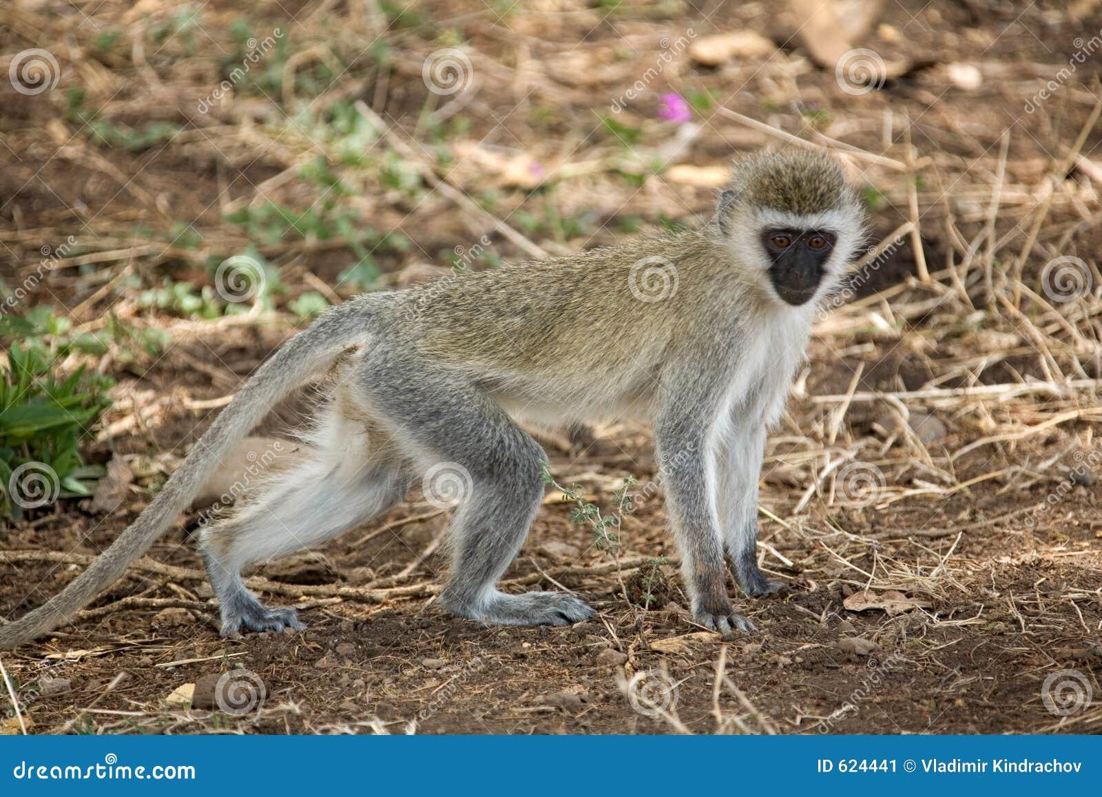 De aap van dieren