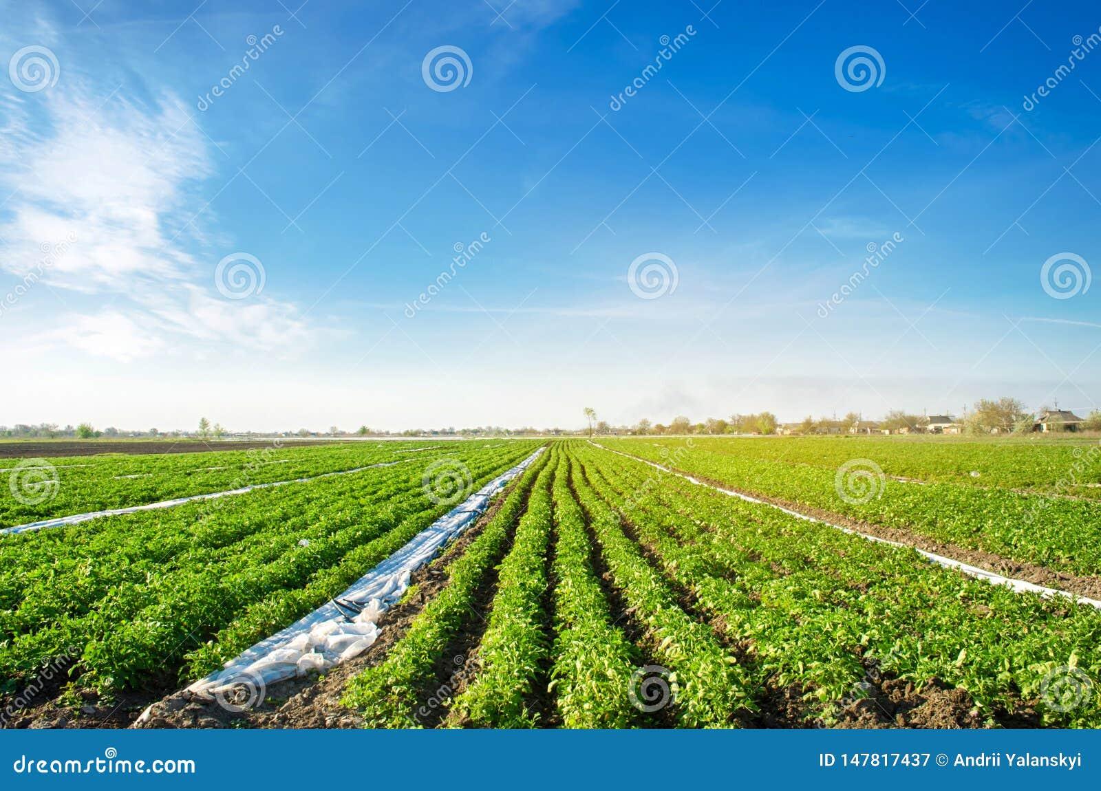 De aardappelsaanplantingen groeien op het gebied plantaardige rijen De landbouw, landbouw Landschap met Landbouwgrond Verse organ