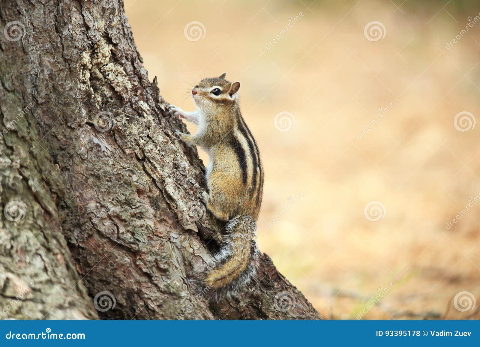 De aardeekhoorn zit dichtbij de boom
