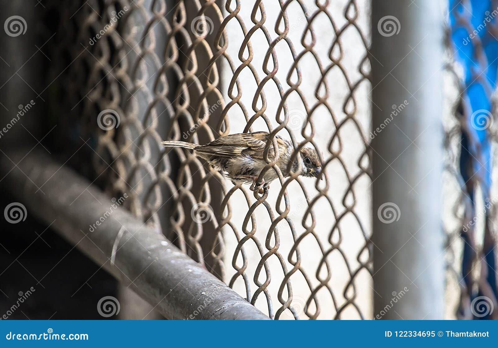 De aardmus wordt gezien gemakkelijk het een sedentaire vogel op een omheining langs de muren van het huis zoekend voedsel is