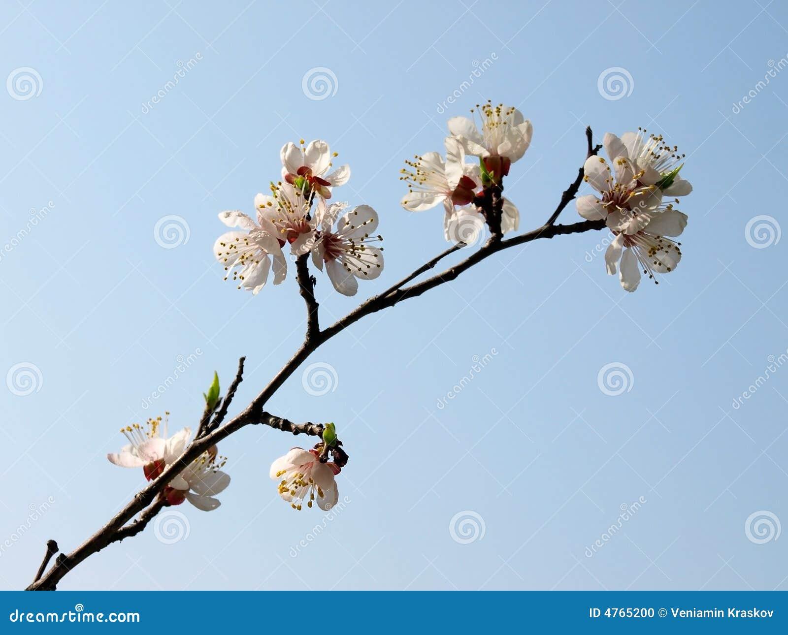 De abrikoos bloeit boom