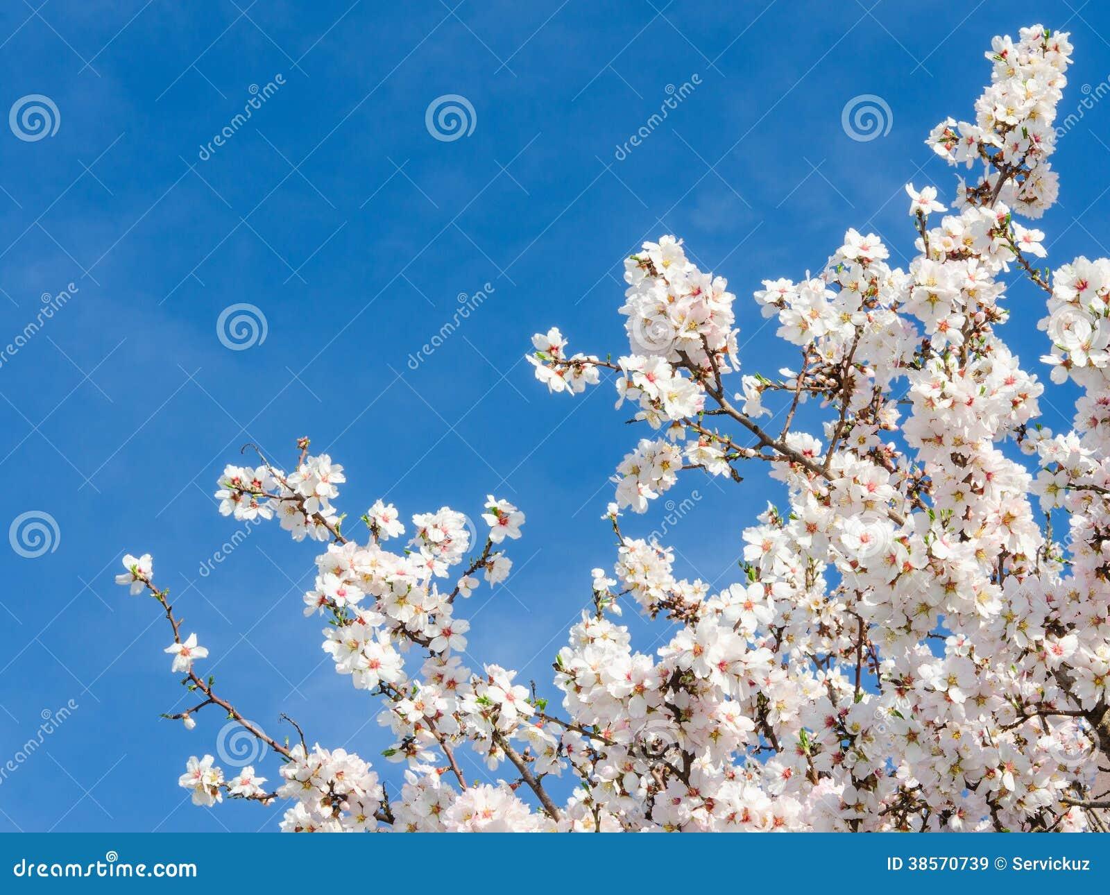 De abrikozenboom van de de lentebloei tegen blauwe hemel stock afbeelding afbeelding 38570739 - Blauwe hemel kamer ...