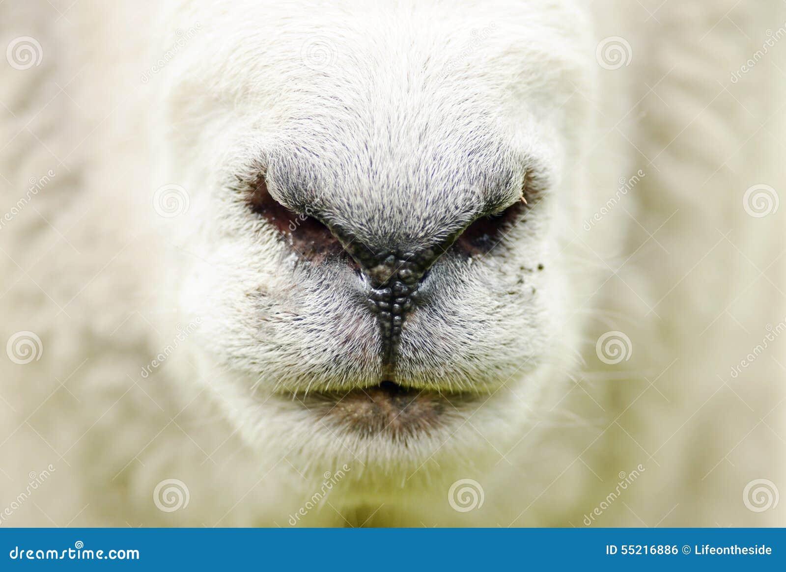 De abstracte van het de close-upgezicht van landbouwbedrijfschapen achtergrond van de de neusmond