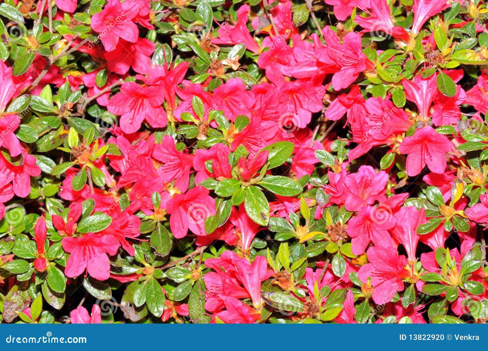 De achtergrond van de azalea