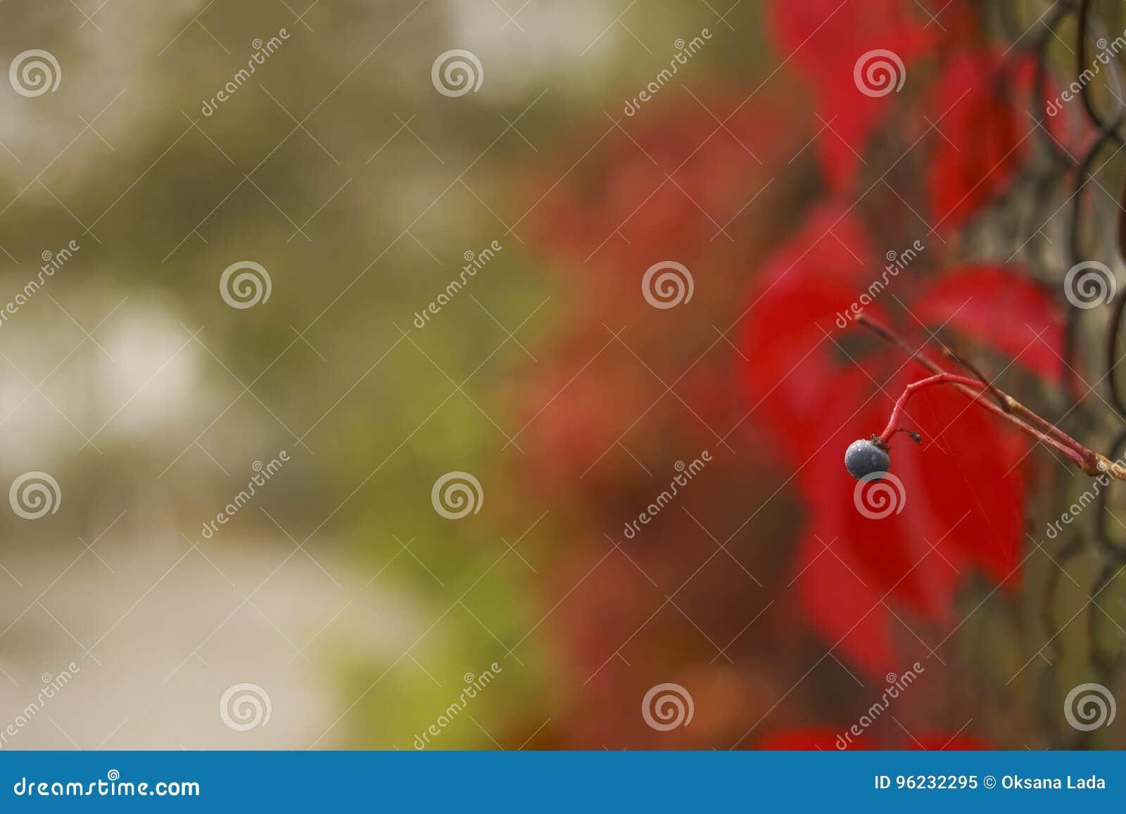 De achtergrond van de herfst Rode en oranje het bladclose-up van de kleurenKlimop