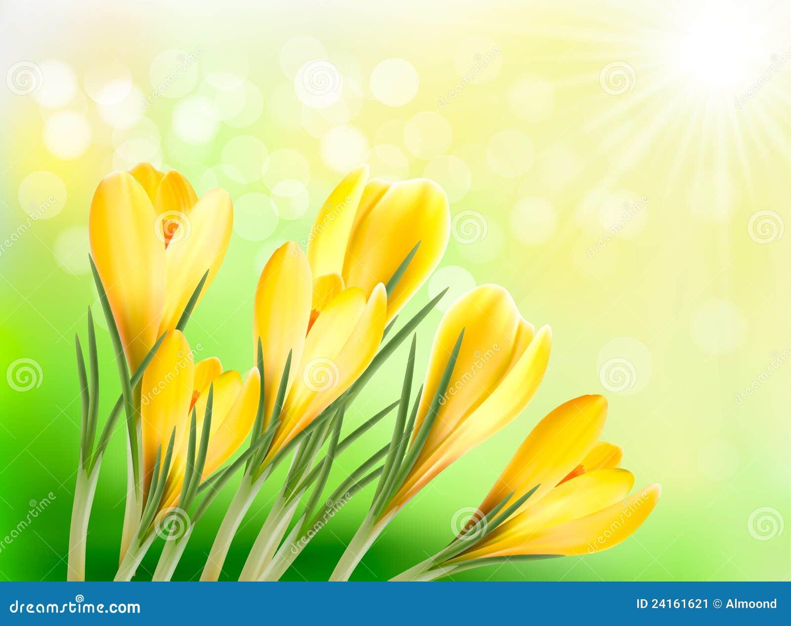 De Achtergrond Van De Lente Met Gele Krokus Stock Afbeelding   Afbeelding  24161621
