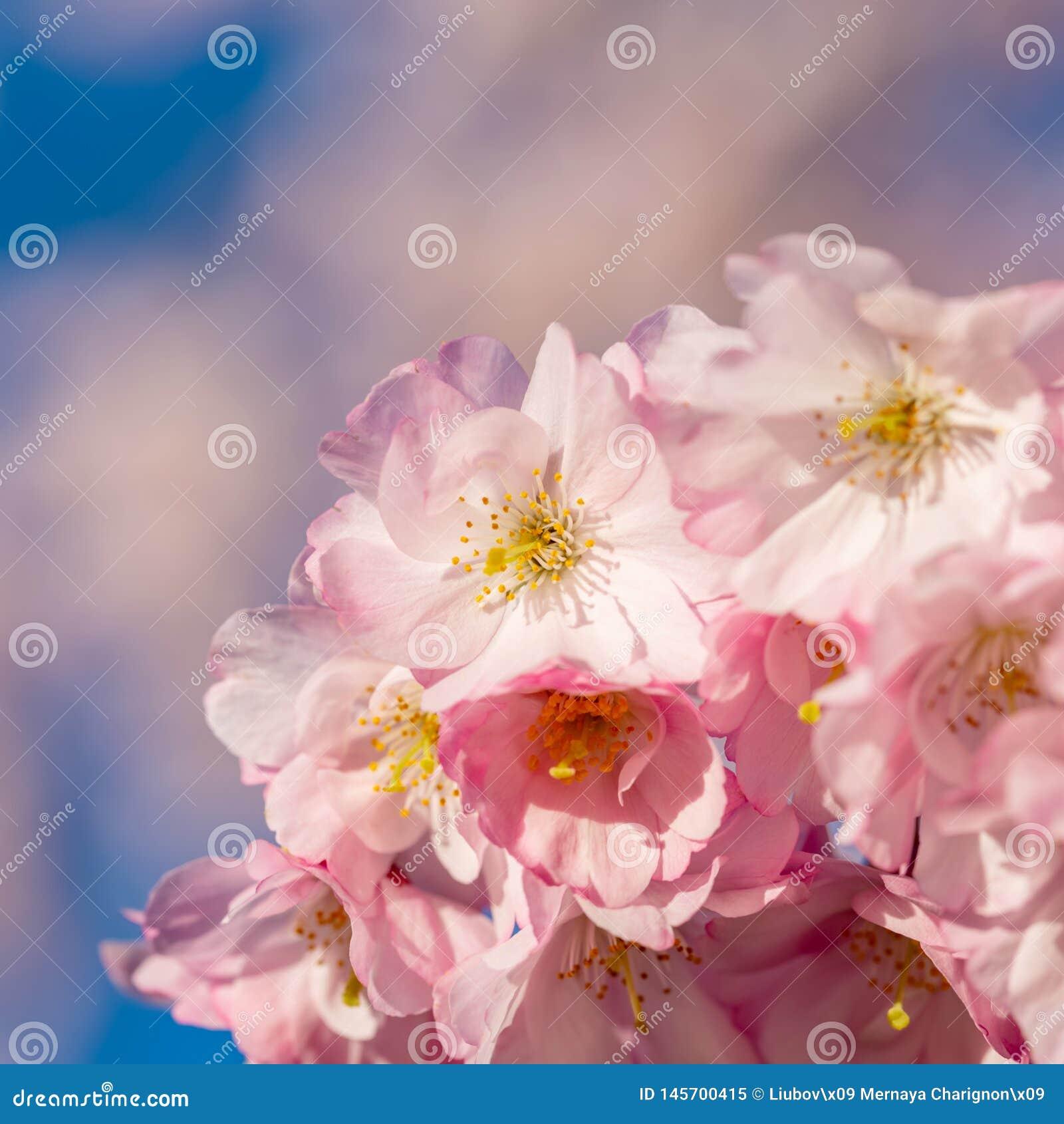 De achtergrond van het aardbehang met het tot bloei komen Sakura Selectieve nadruk Spel van kleur