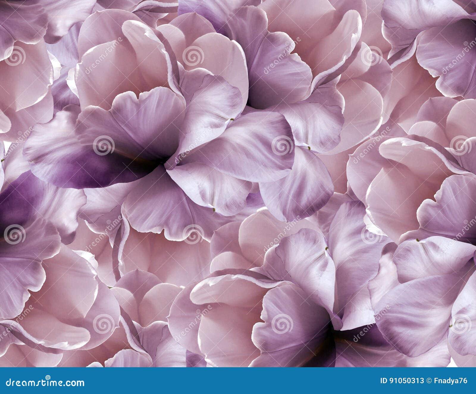 De achtergrond van het bloemen roze-viooltje De purper-witte grote tulp van bloemblaadjesbloemen bloemencollage De samenstelling