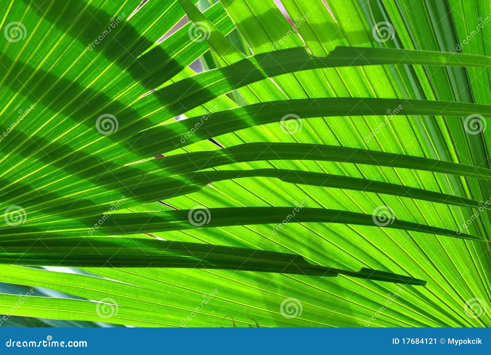 De achtergrond van het palmblad