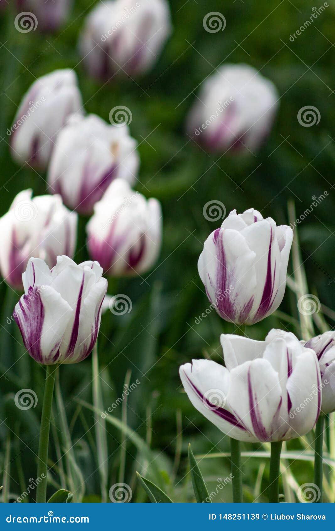 De achtergrond van de tulpenbloem, de Kleurrijke aard van de tulpenweide in de lente, sluit omhoog