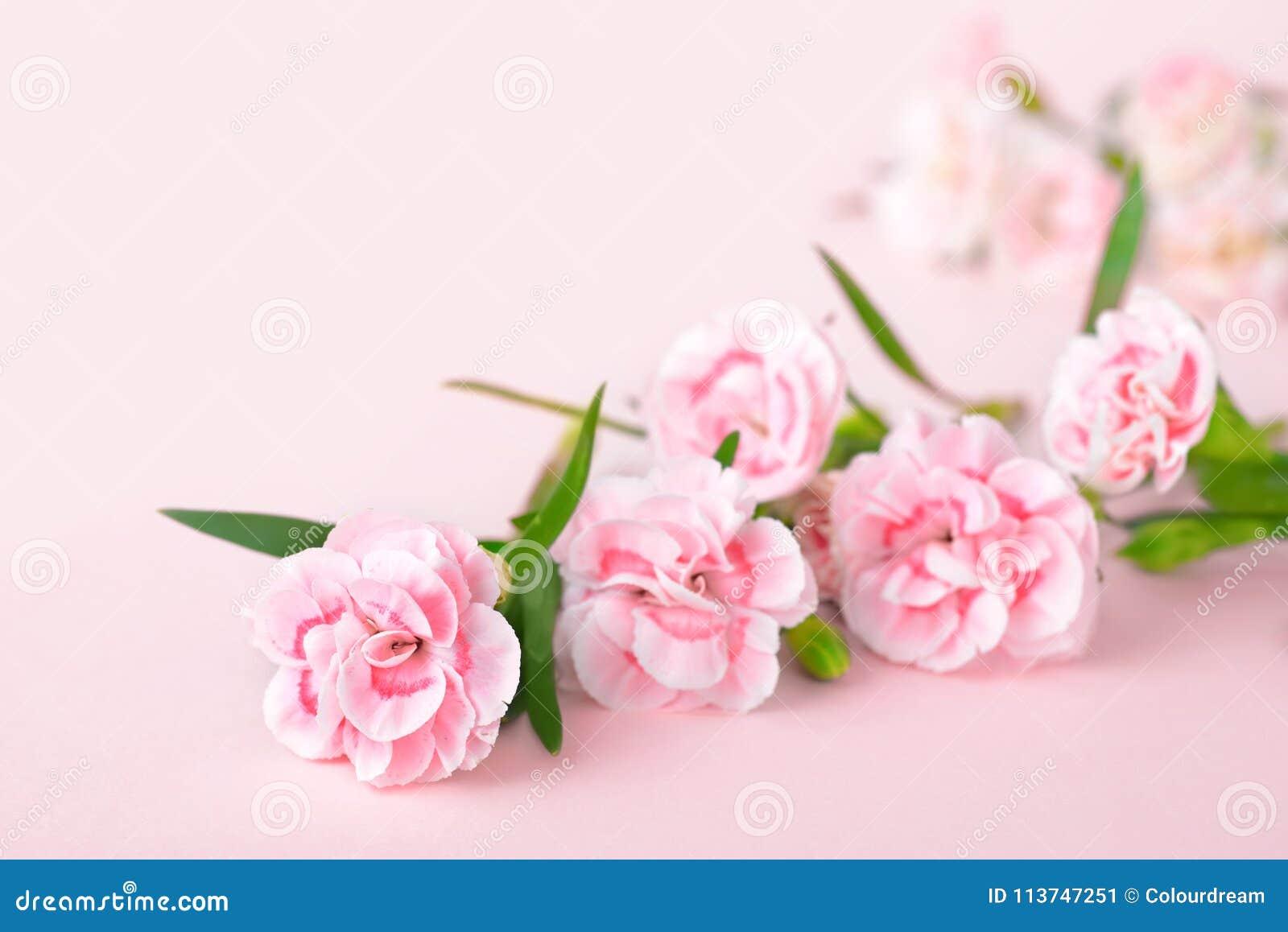 De achtergronden van de moedersdag, roze anjers op de roze achtergrond