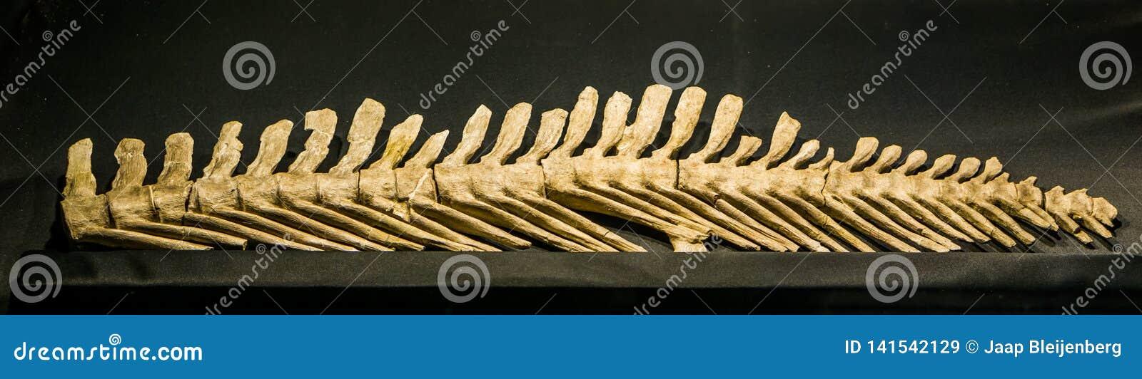 De achterstekel van een uitgestorven mosasauruslemonnieri, een aquatische hagedis die tijdens de krijtachtige periode in Europa e