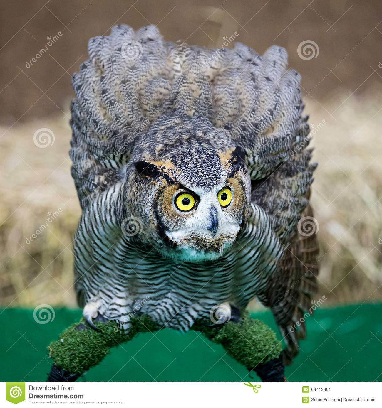 De adelaarsuil van Eagle Owl /An