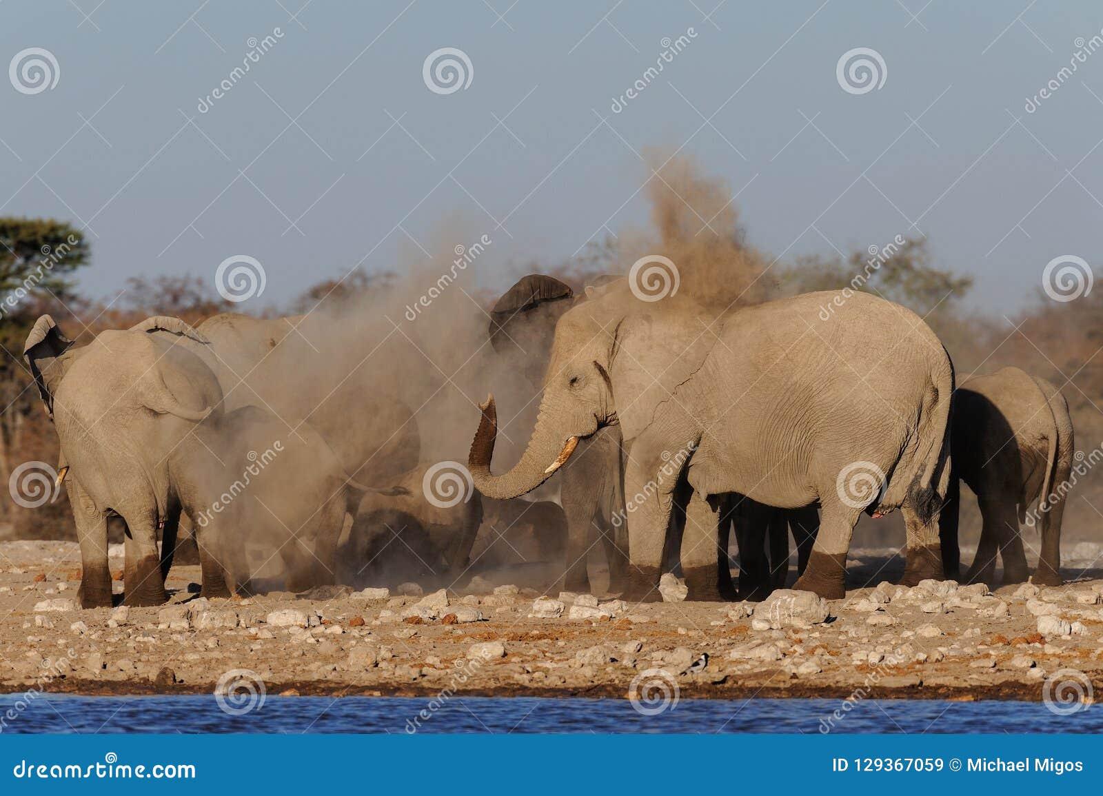 De Afrikaanse olifantskudde maakt een stofbad, etosha nationalpark