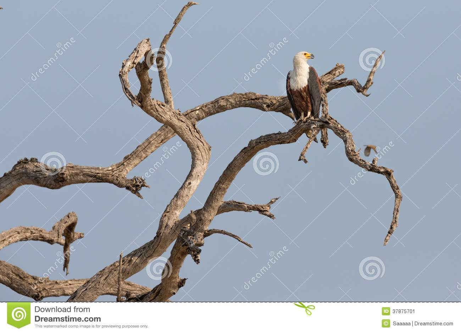 De Afrikaanse Vissen Eagle