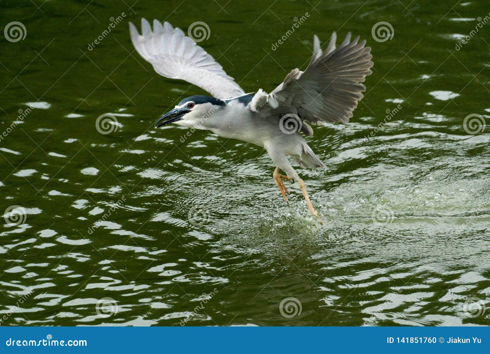 De aigrette die op de rivier met de rimpelingen op donkergroene achtergrond vliegen