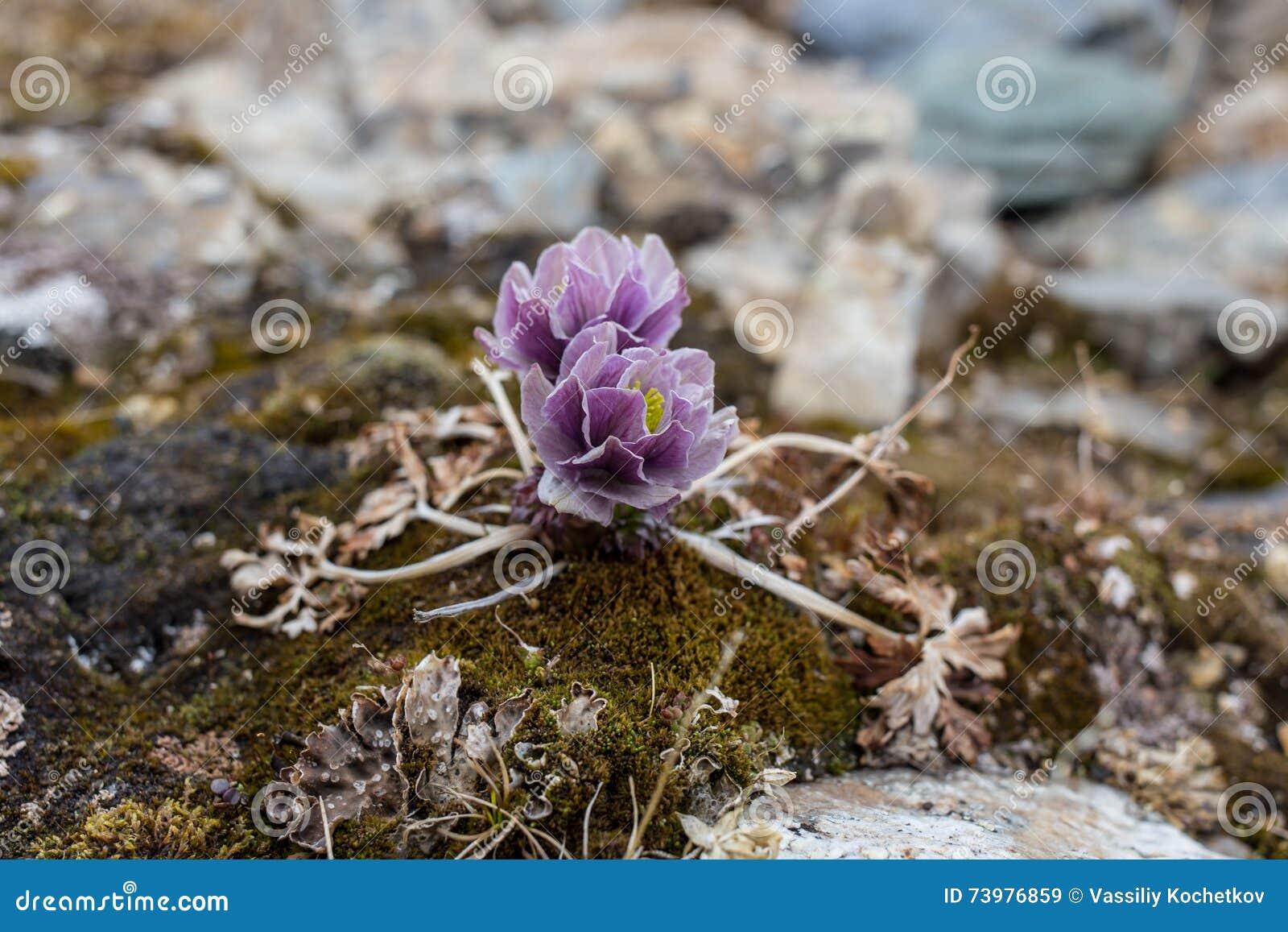 De alpiene Bloemen van de rozenberg van de Alpen