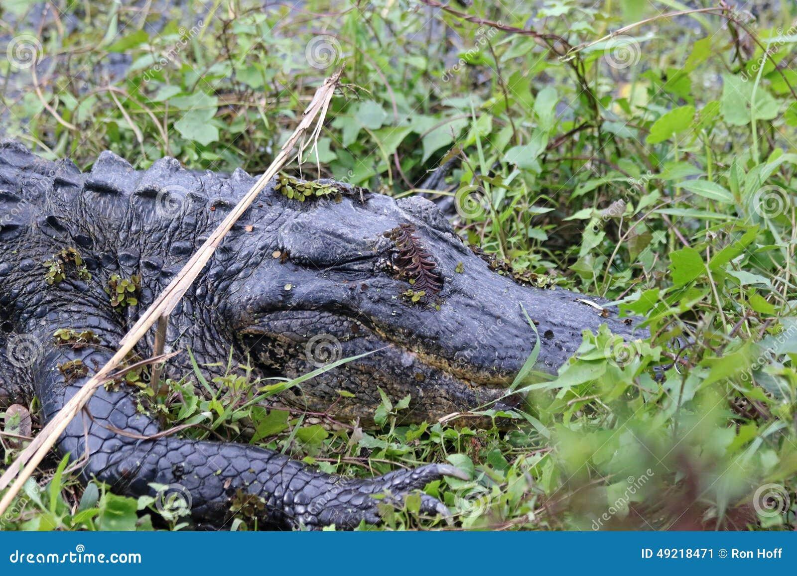 De Amerikaanse Alligator