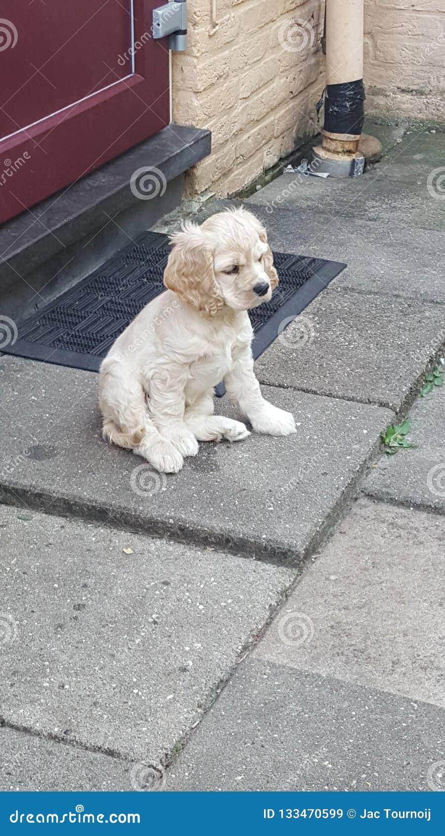 De Amerikaanse Cocker-spaniël van het puppy