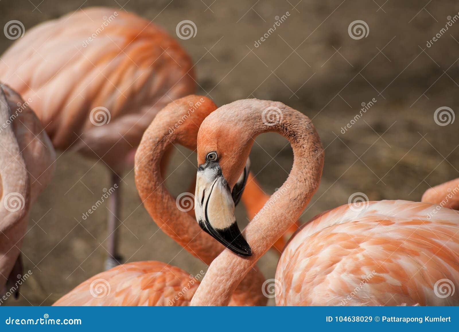 Download De Amerikaanse Flamingo's/de Amerikaanse Flamingo's Phoenicopterus Ruber Zijn Grote Species Van Flamingo Stock Afbeelding - Afbeelding bestaande uit caraïbisch, dier: 104638029