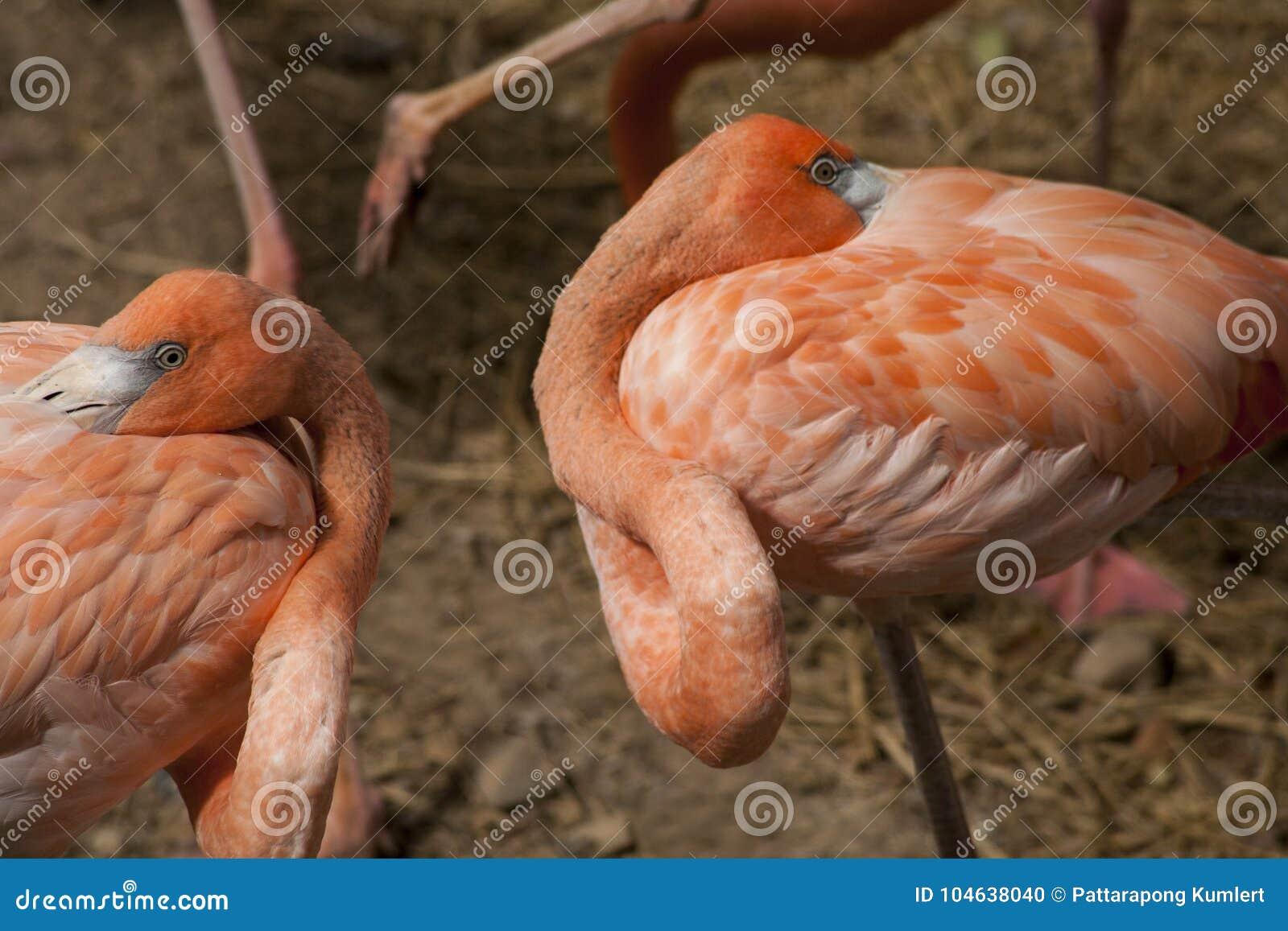 Download De Amerikaanse Flamingo's/de Amerikaanse Flamingo's Phoenicopterus Ruber Zijn Grote Species Van Flamingo Stock Foto - Afbeelding bestaande uit vogel, caraïbisch: 104638040