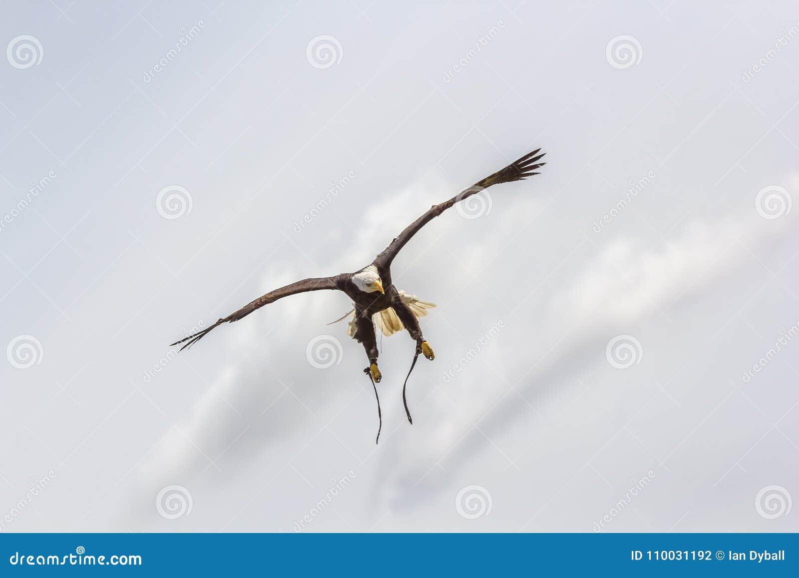 De Amerikaanse kale adelaar buigt Roofvogel bij valkerijvertoning