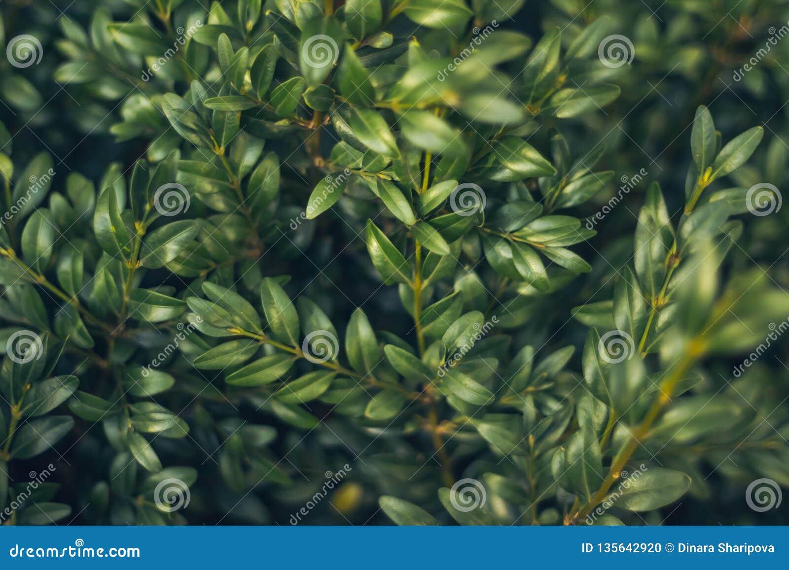 De Amerikaanse veenbessenachtergrond van de bladeren wilde bes De groene Ornamenten van Kerstmis De natuurlijke achtergrond van d