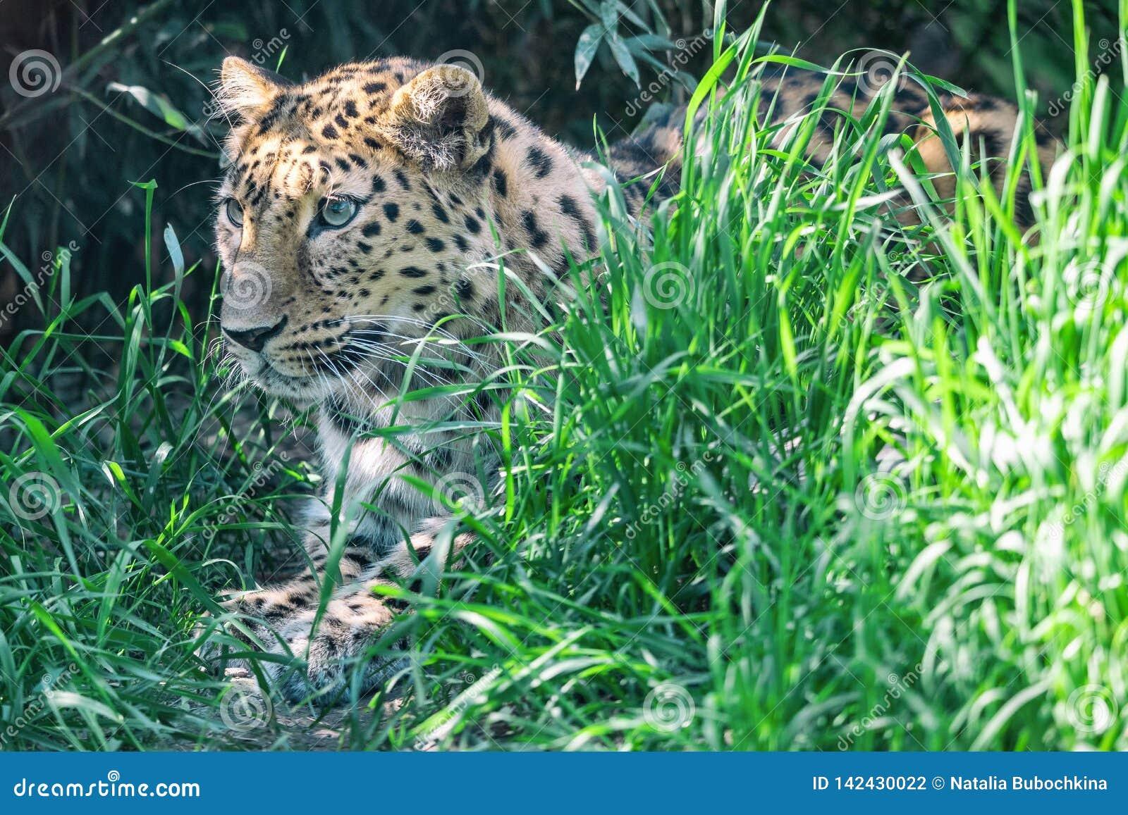 De Amurluipaard ligt in wachttijd onder groen gras