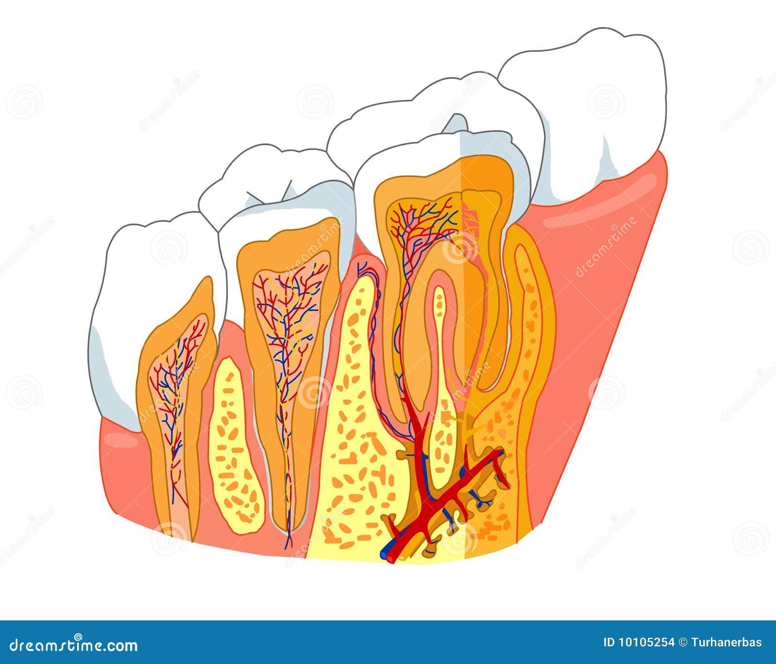 De anatomie van de tand