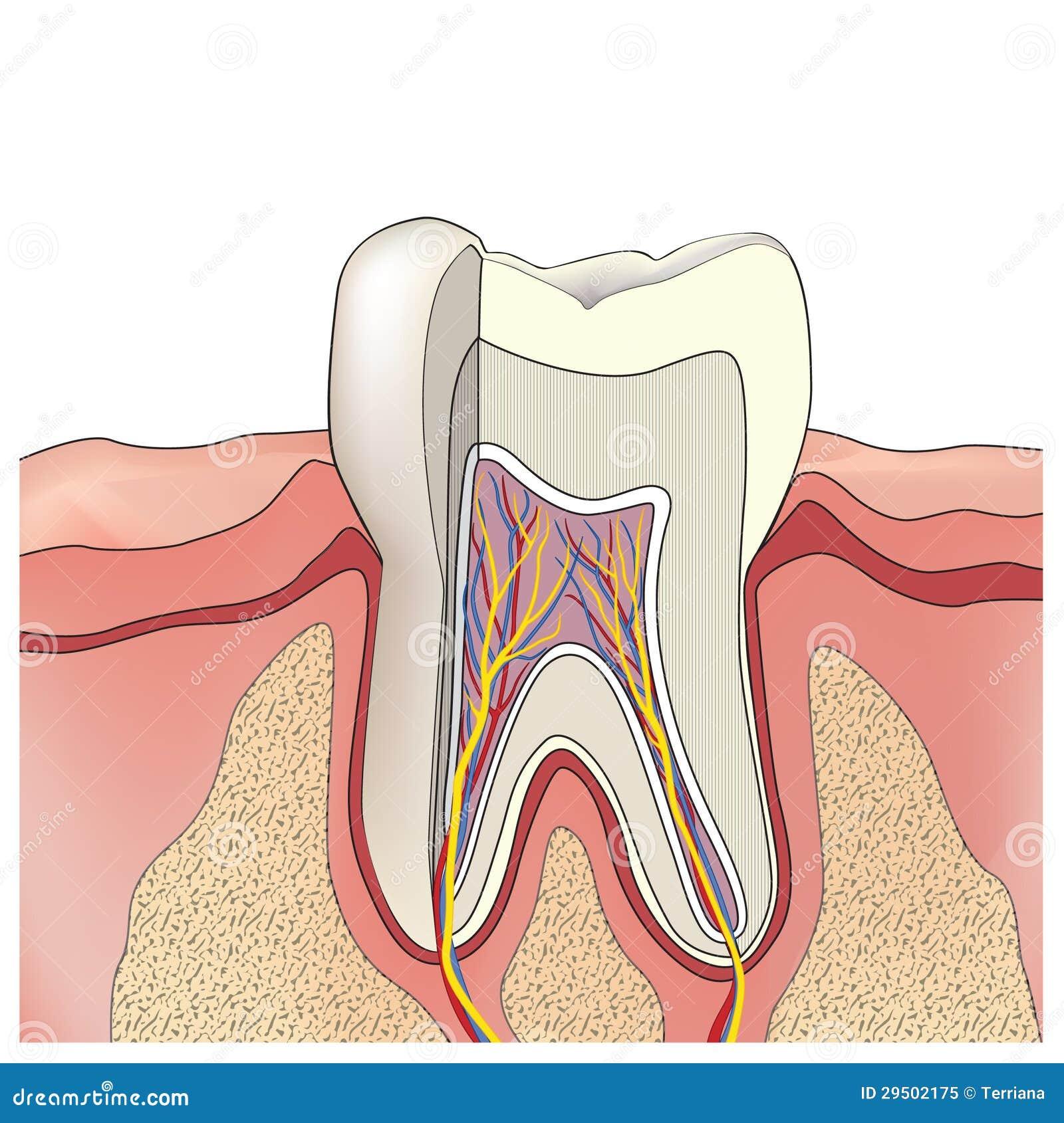 De anatomie van de tand. Vector illustratie.
