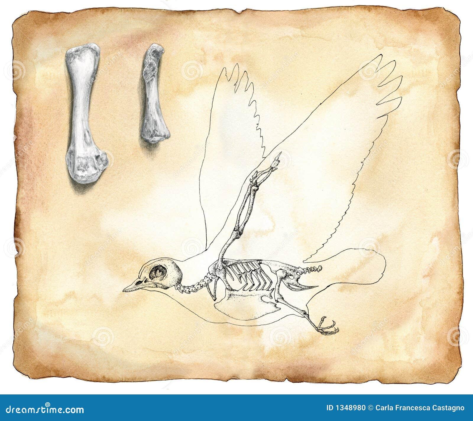 De anatomie van de vogel - waterverf