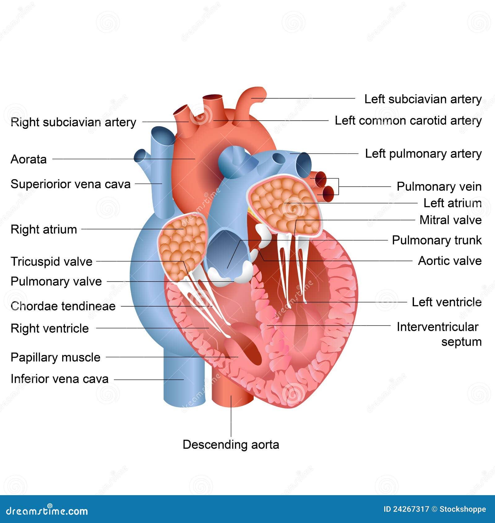 Ongebruikt De Anatomie van het hart vector illustratie. Illustratie bestaande UV-54