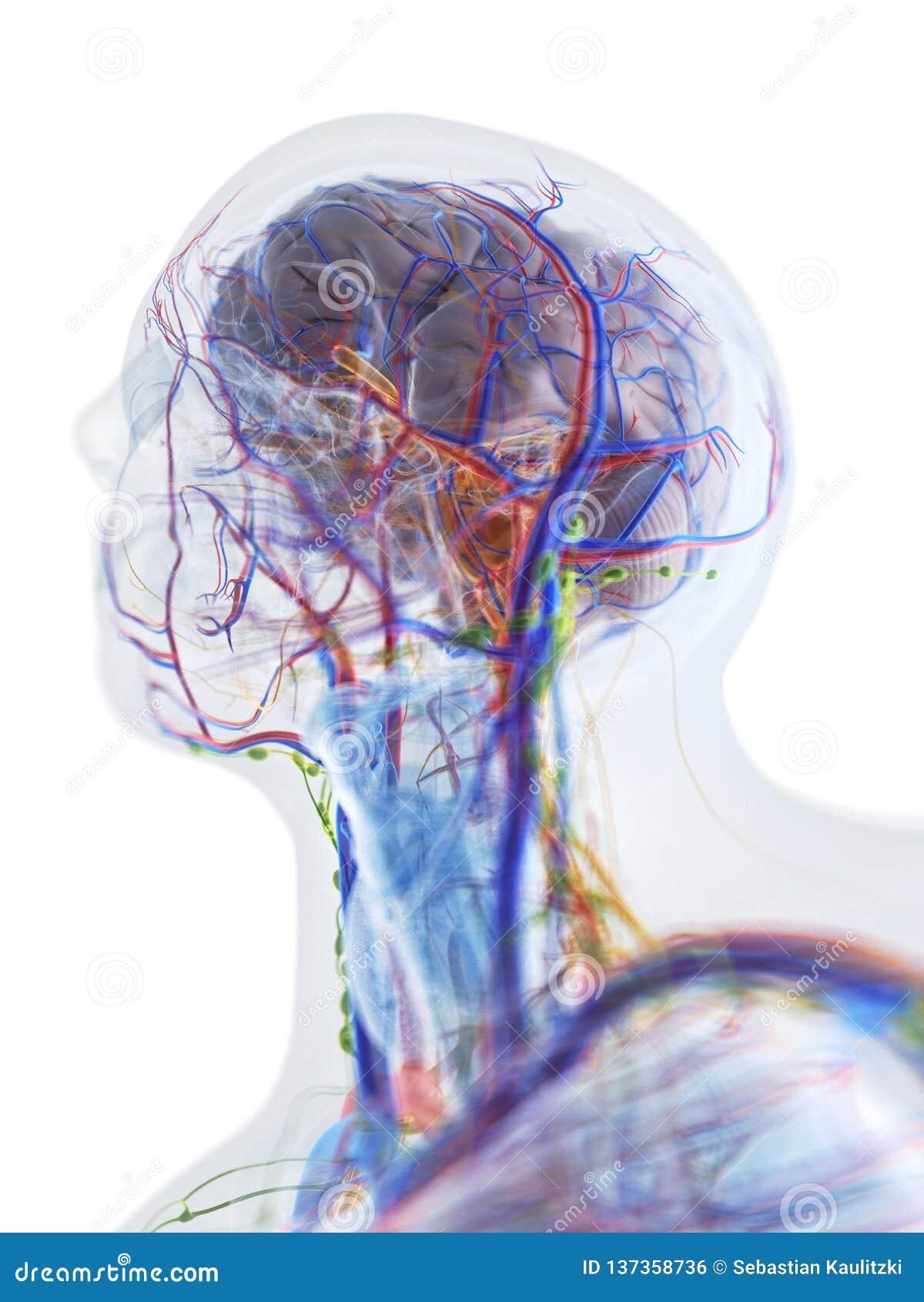 De anatomie van het hoofd en de hals