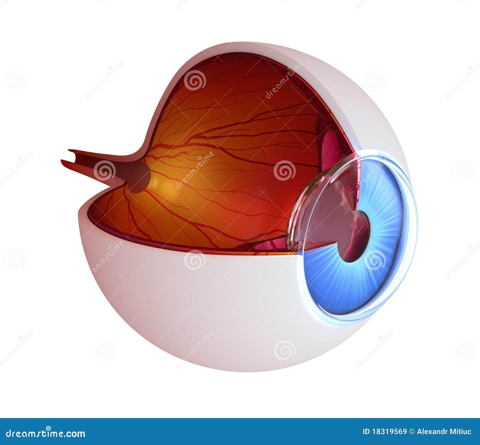 De anatomie van het oog - binnenstructuur
