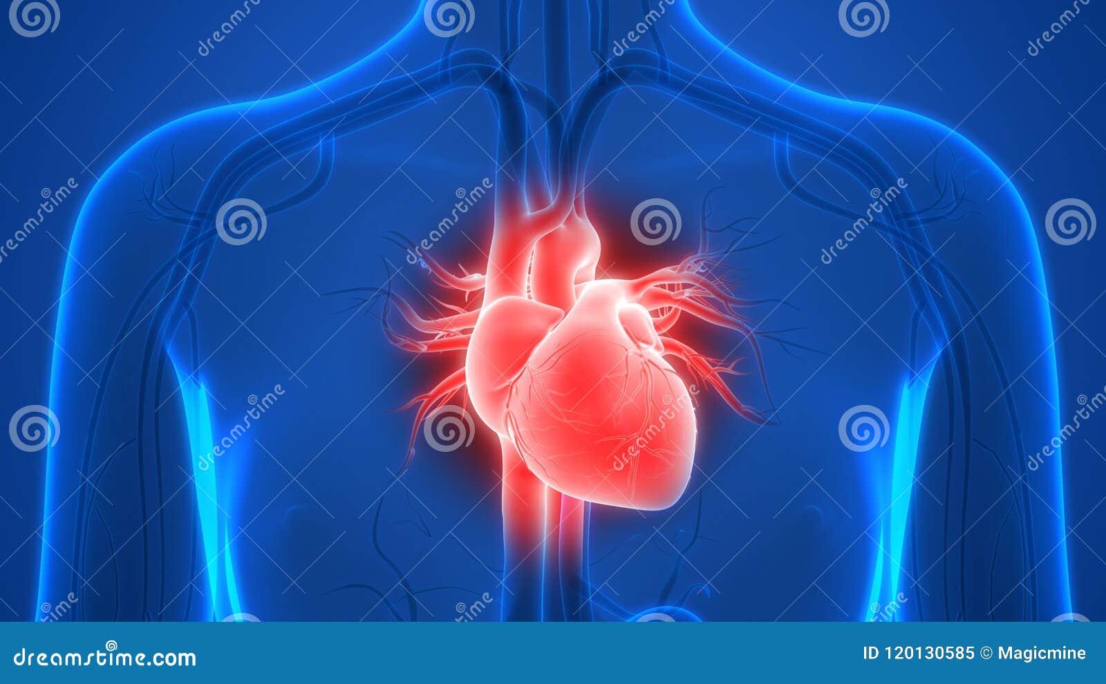 De Anatomie van het het Vaatstelselhart van menselijk Lichaamsorganen