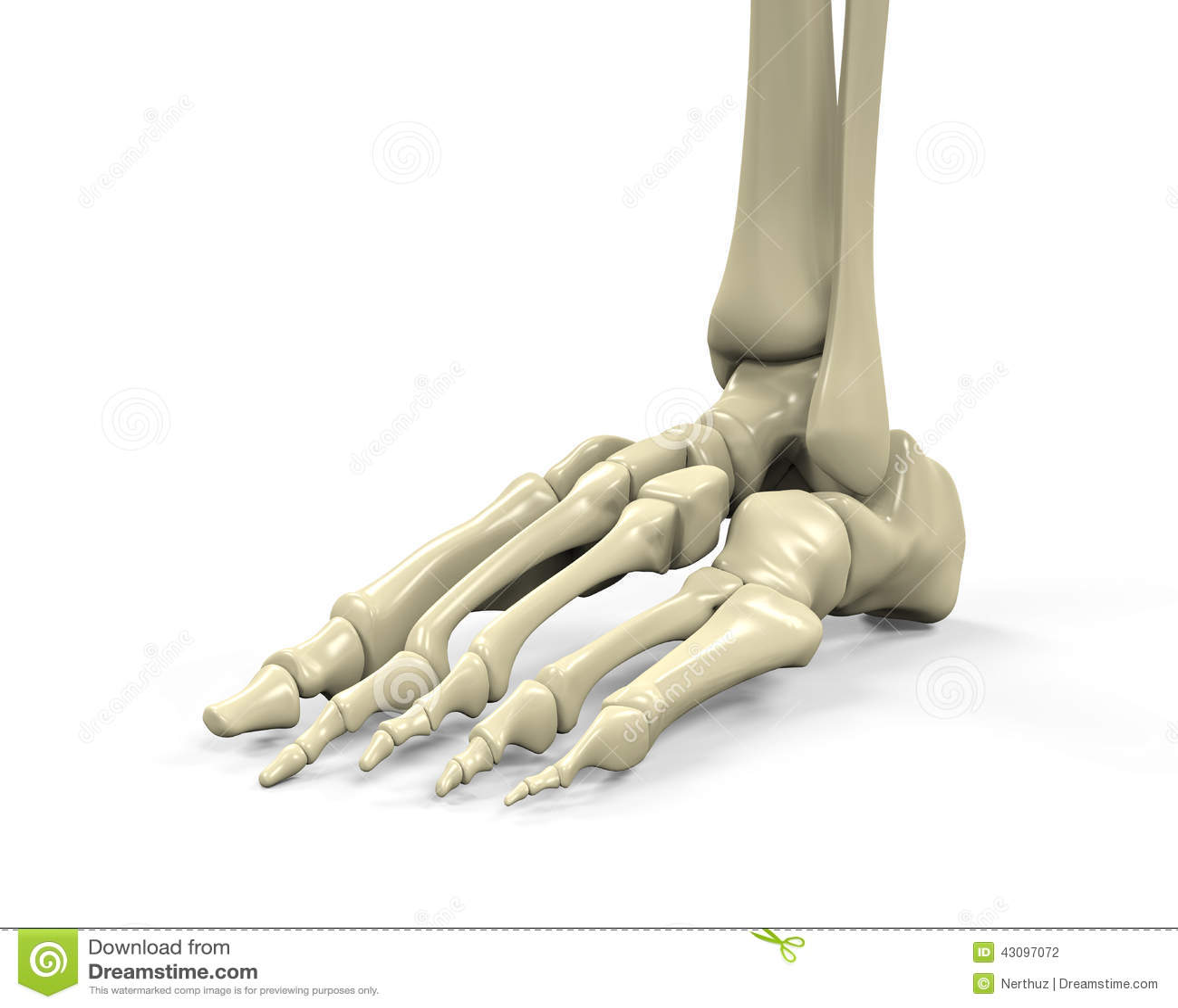 De Anatomie Van Het Voetskelet Stock Illustratie - Illustratie ...
