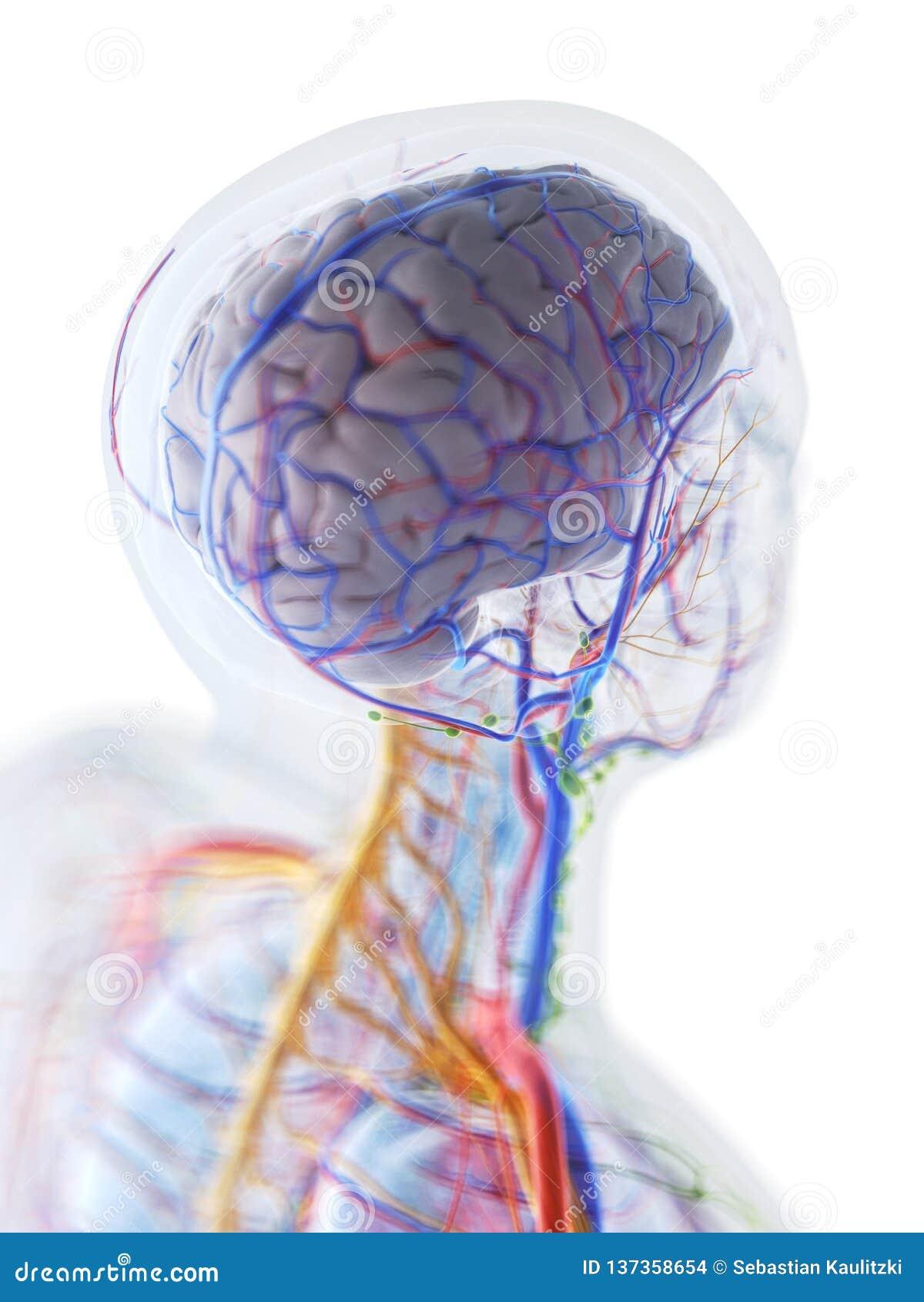 De anatomie van de menselijke hersenen