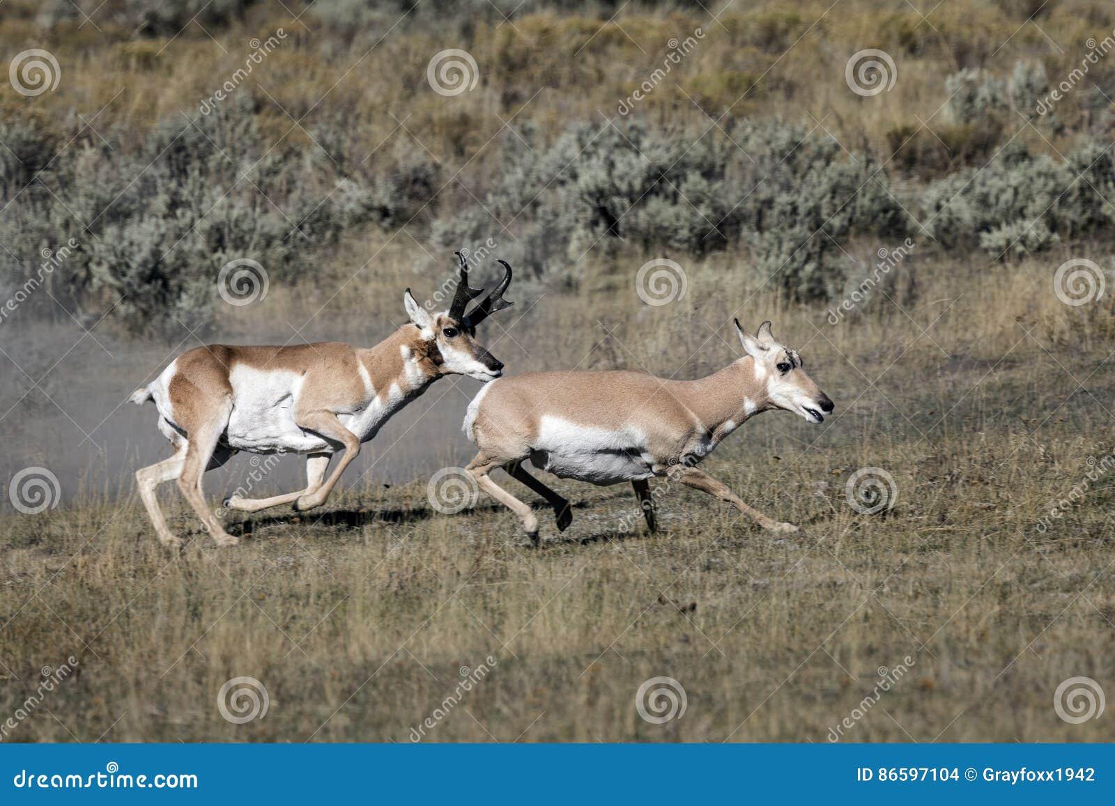De Antilope van Pronghorn
