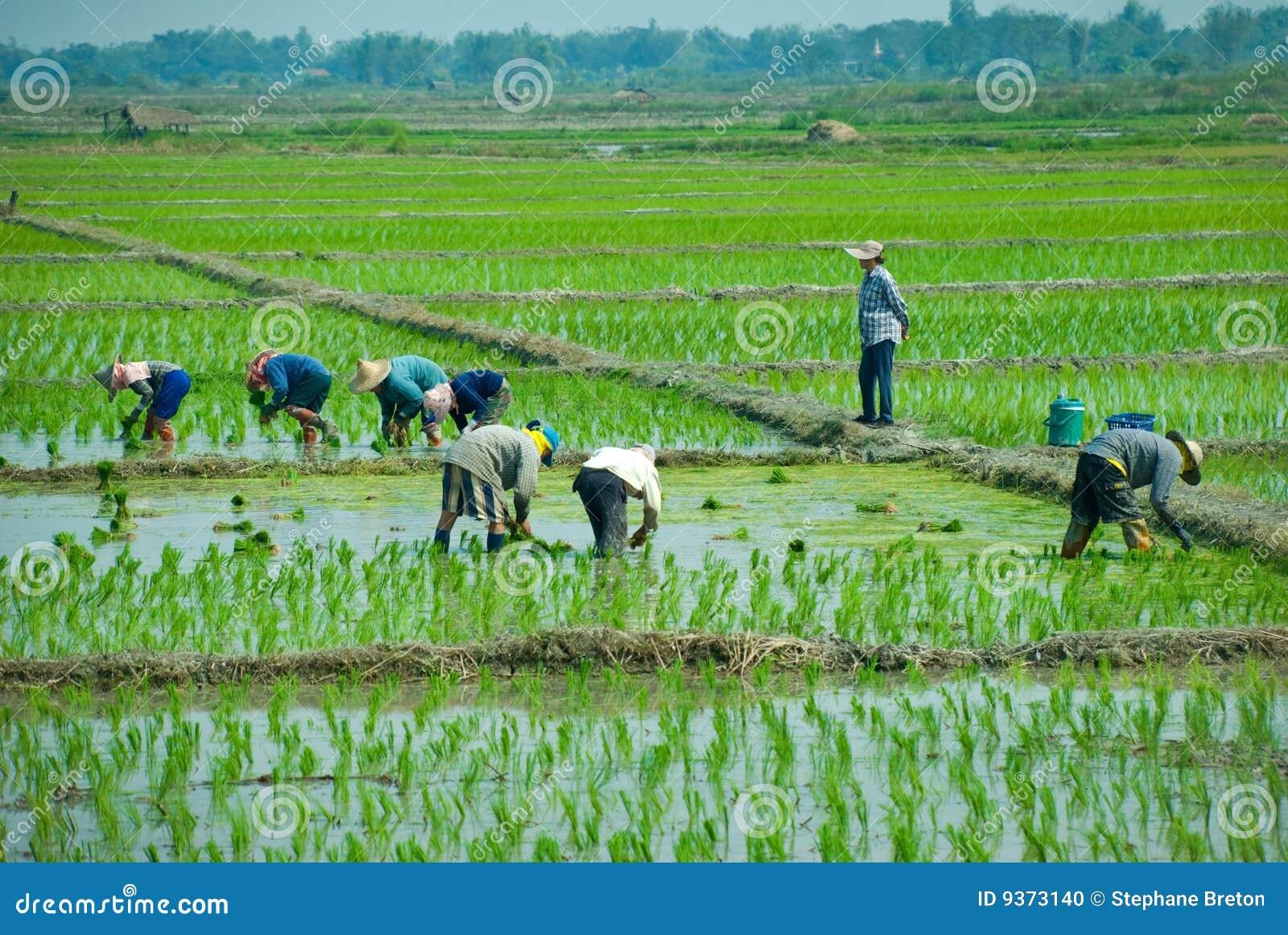 De arbeiders van de rijst