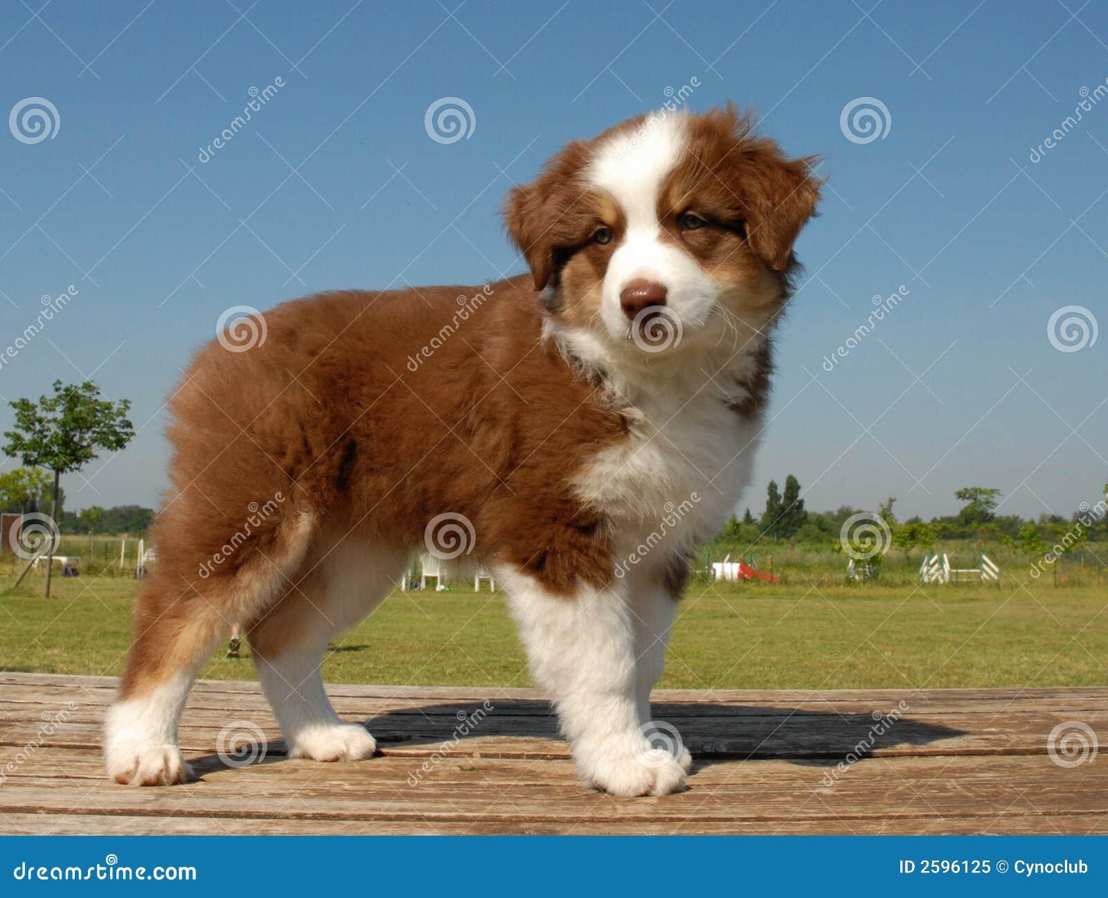 De Australische herder van het puppy