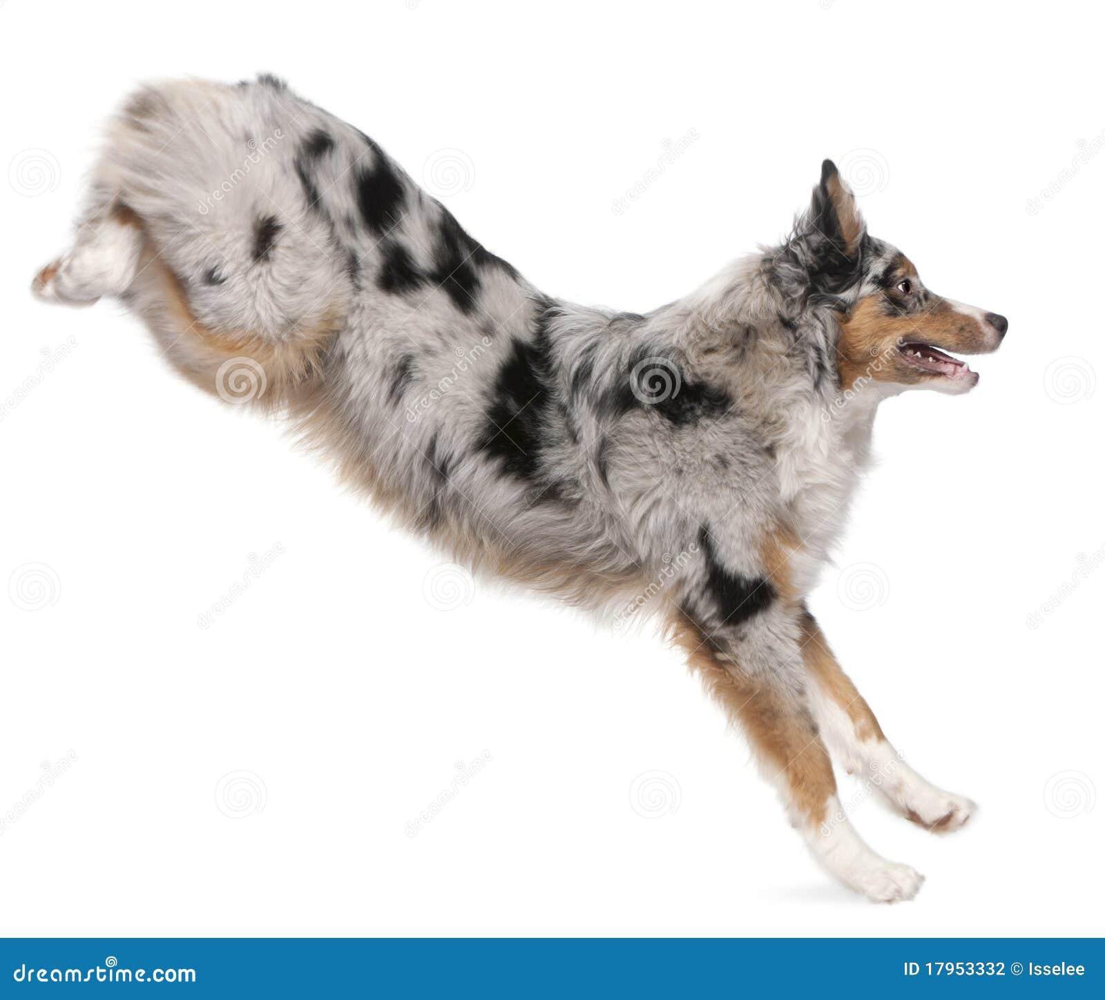 De Australische hond die van de Herder, 7 maanden oud springt