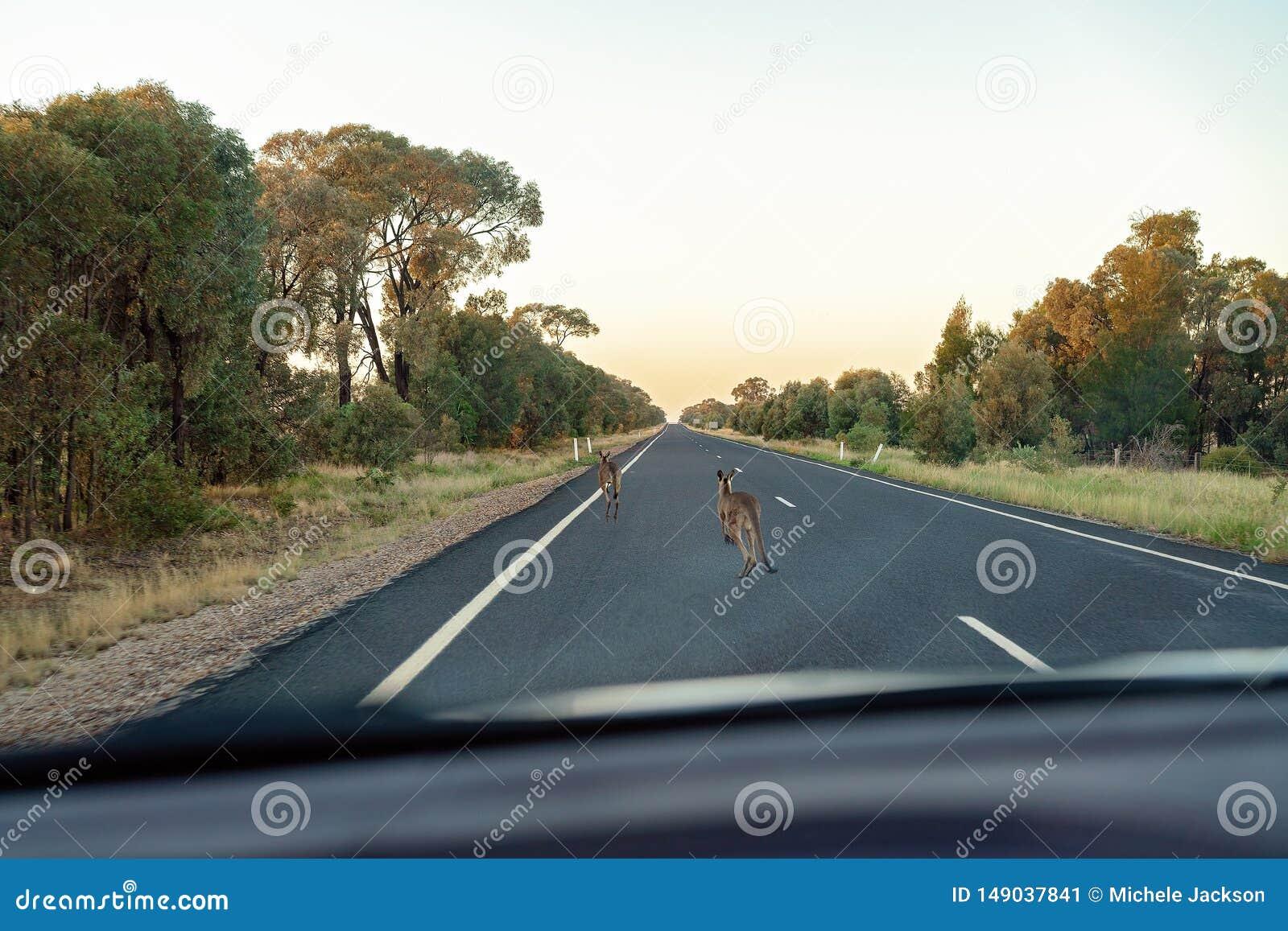 De Australische Kangoeroes zouden niet op de Weg moeten zijn