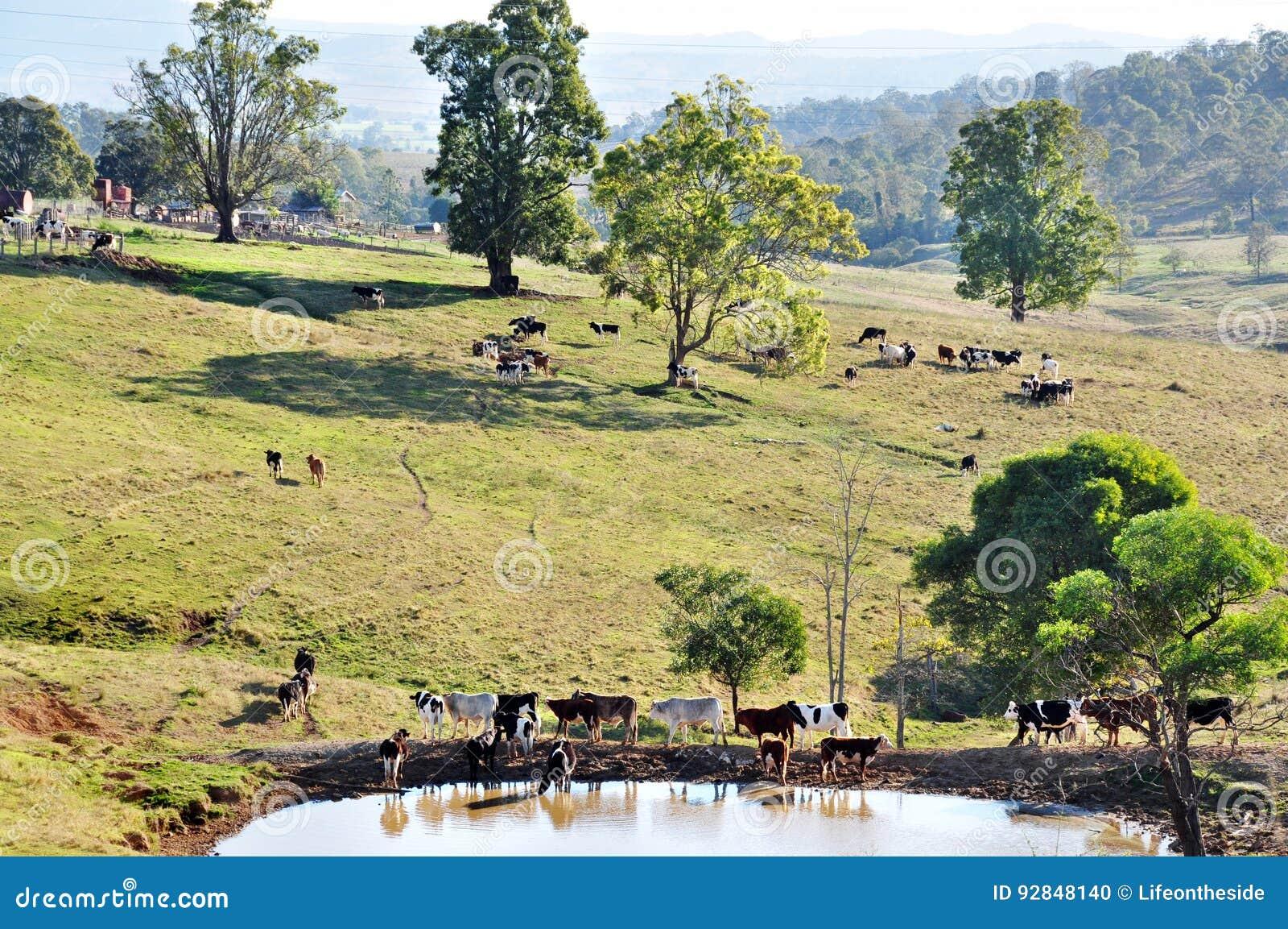 De Australische weidende weilanden van het landbouwbedrijfvee van het overweldigen van het landschap van het land